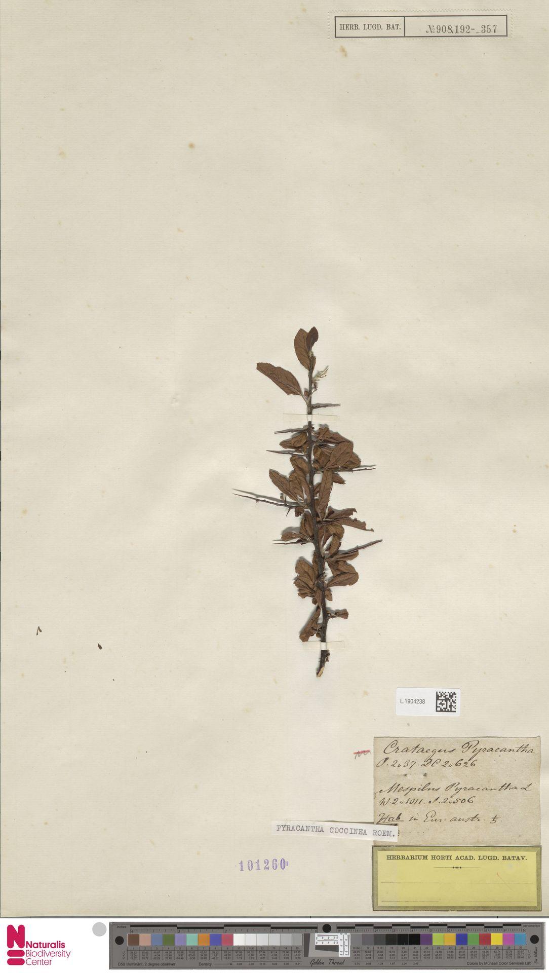 L.1904238 | Pyracantha coccinea M.Roem.