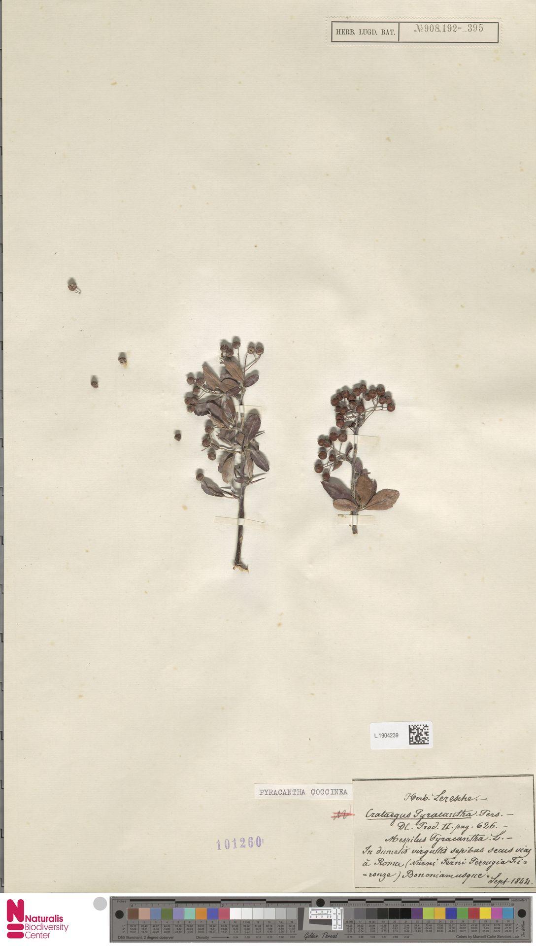 L.1904239 | Pyracantha coccinea M.Roem.