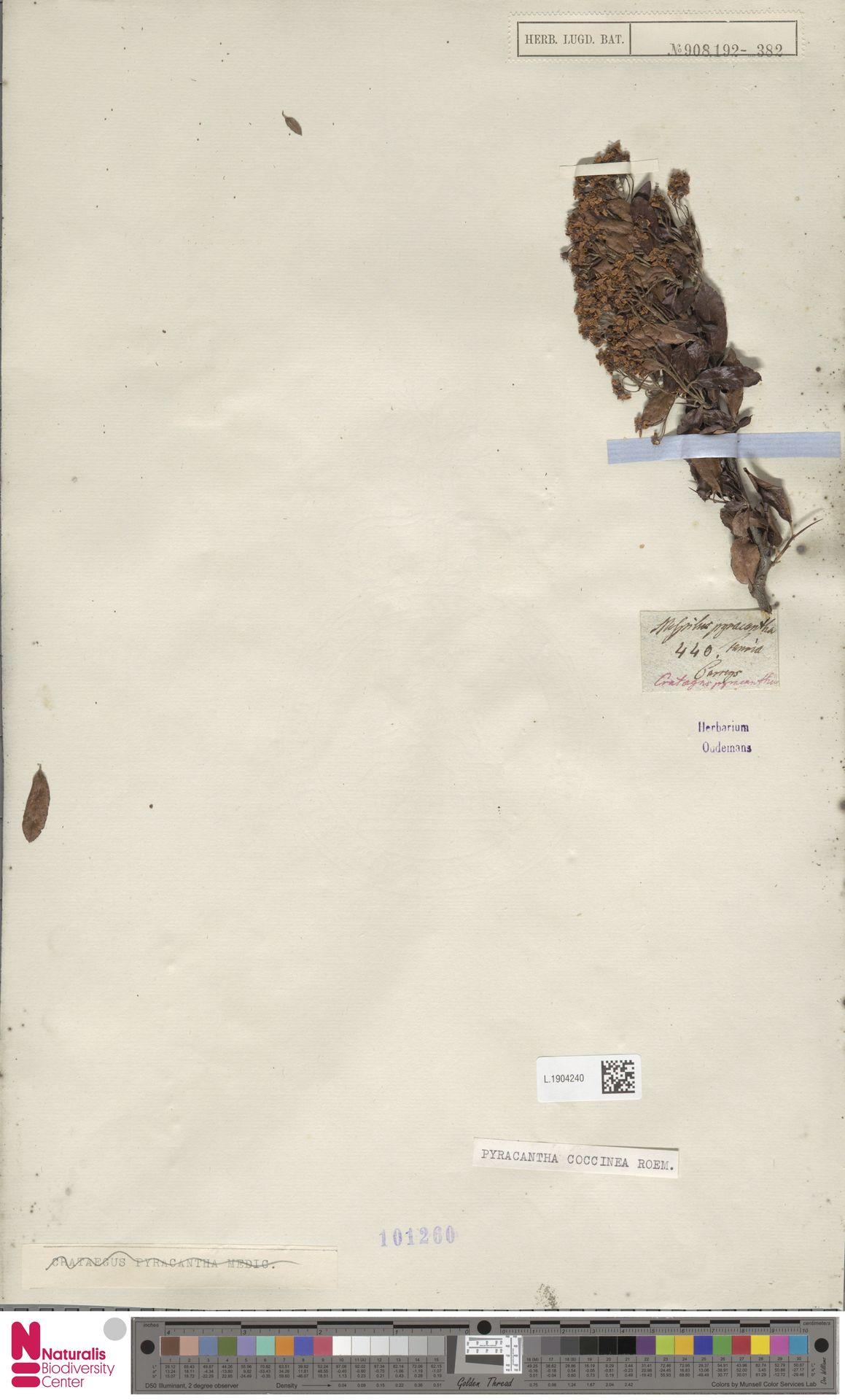 L.1904240 | Pyracantha coccinea M.Roem.