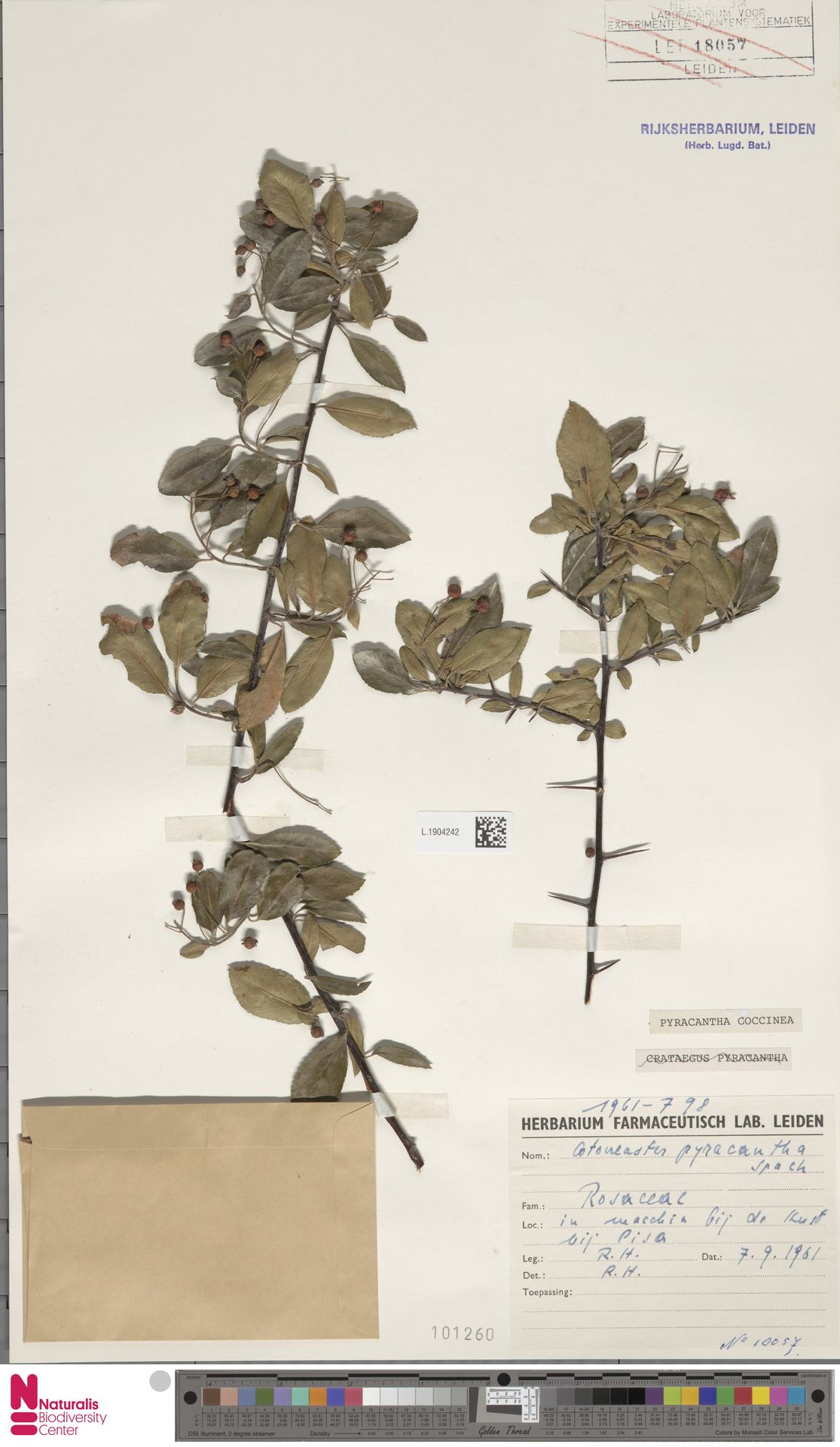 L.1904242 | Pyracantha coccinea M.Roem.