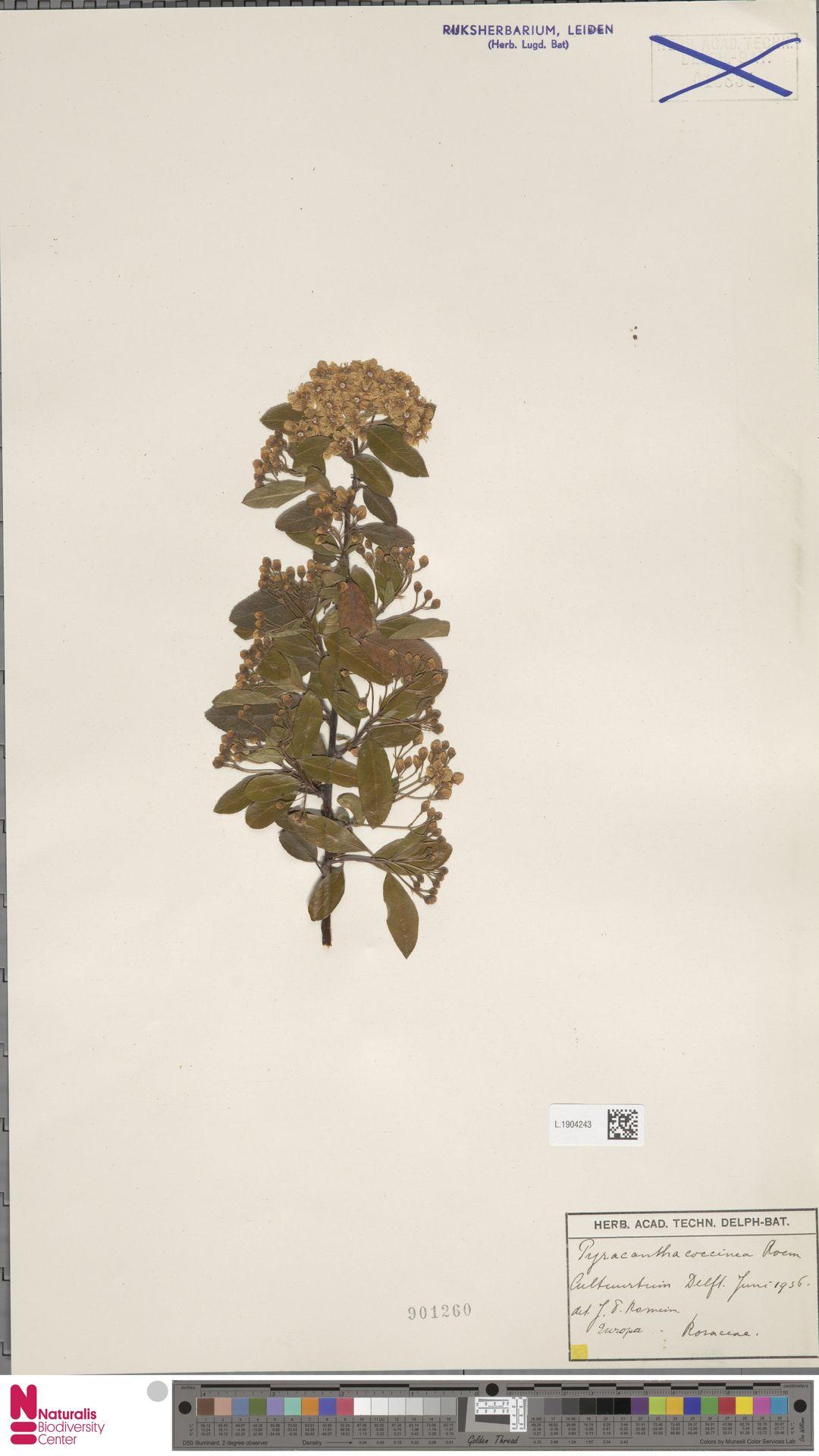 L.1904243 | Pyracantha coccinea M.Roem.