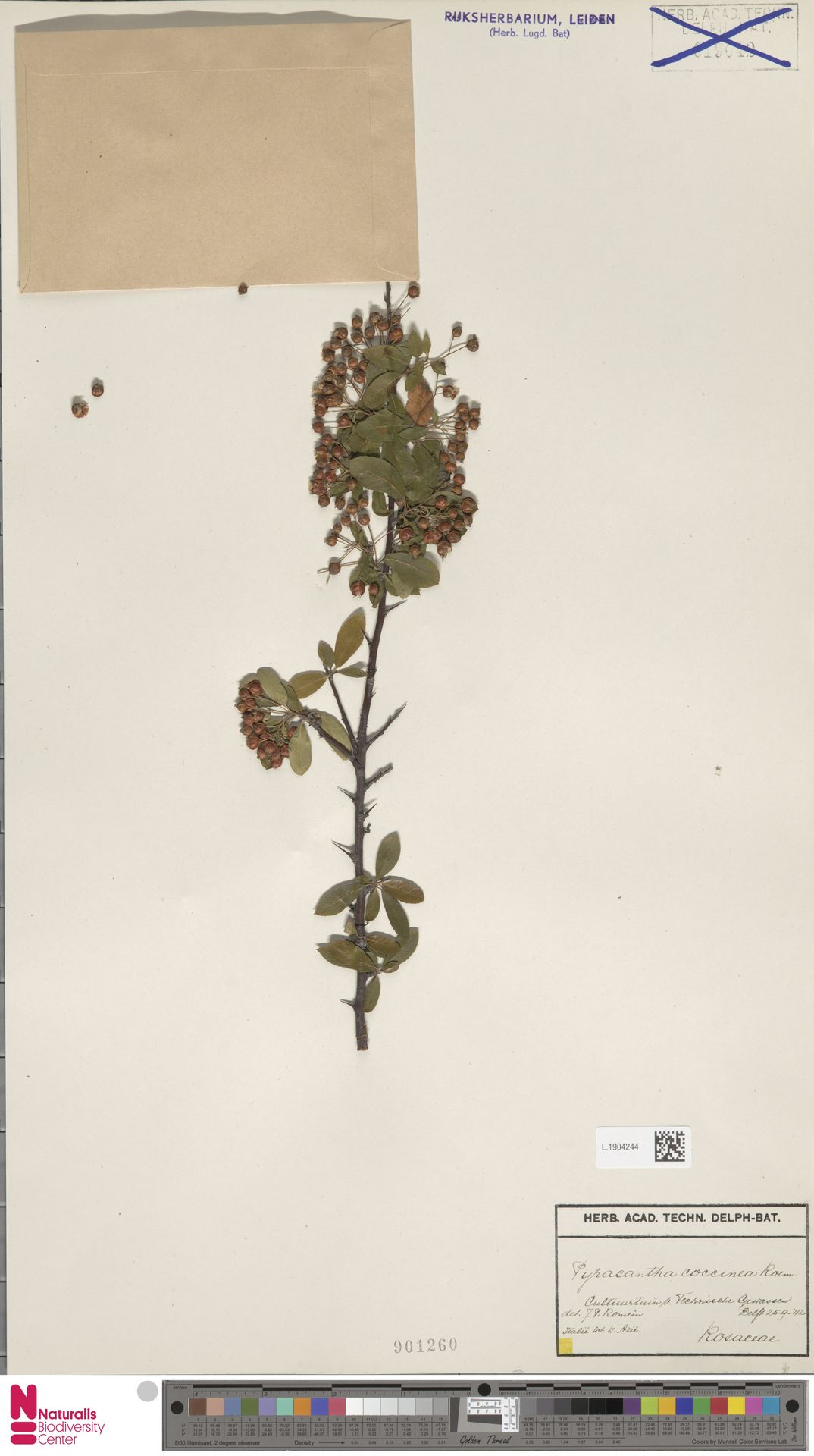 L.1904244 | Pyracantha coccinea M.Roem.