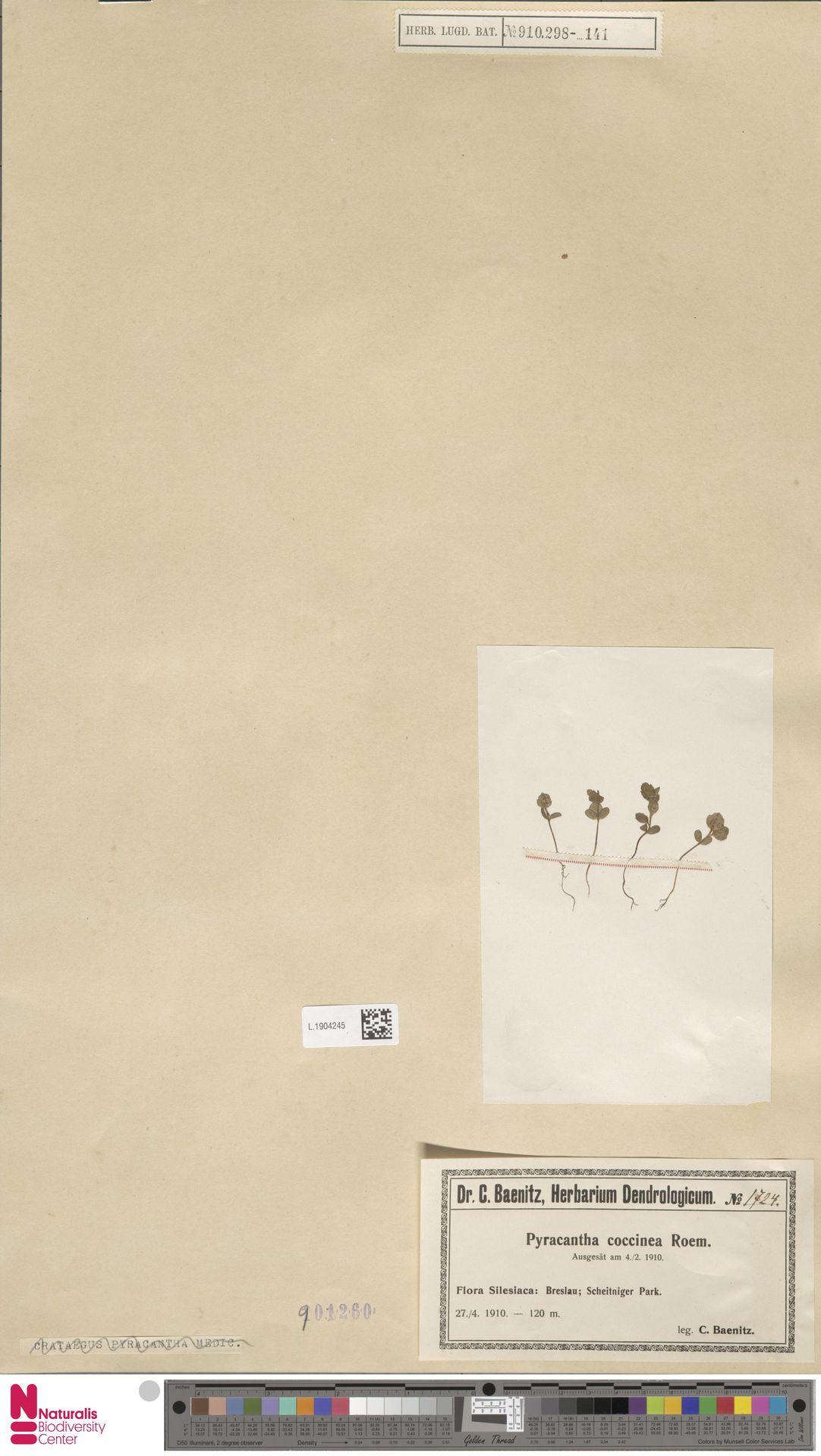 L.1904245 | Pyracantha coccinea M.Roem.