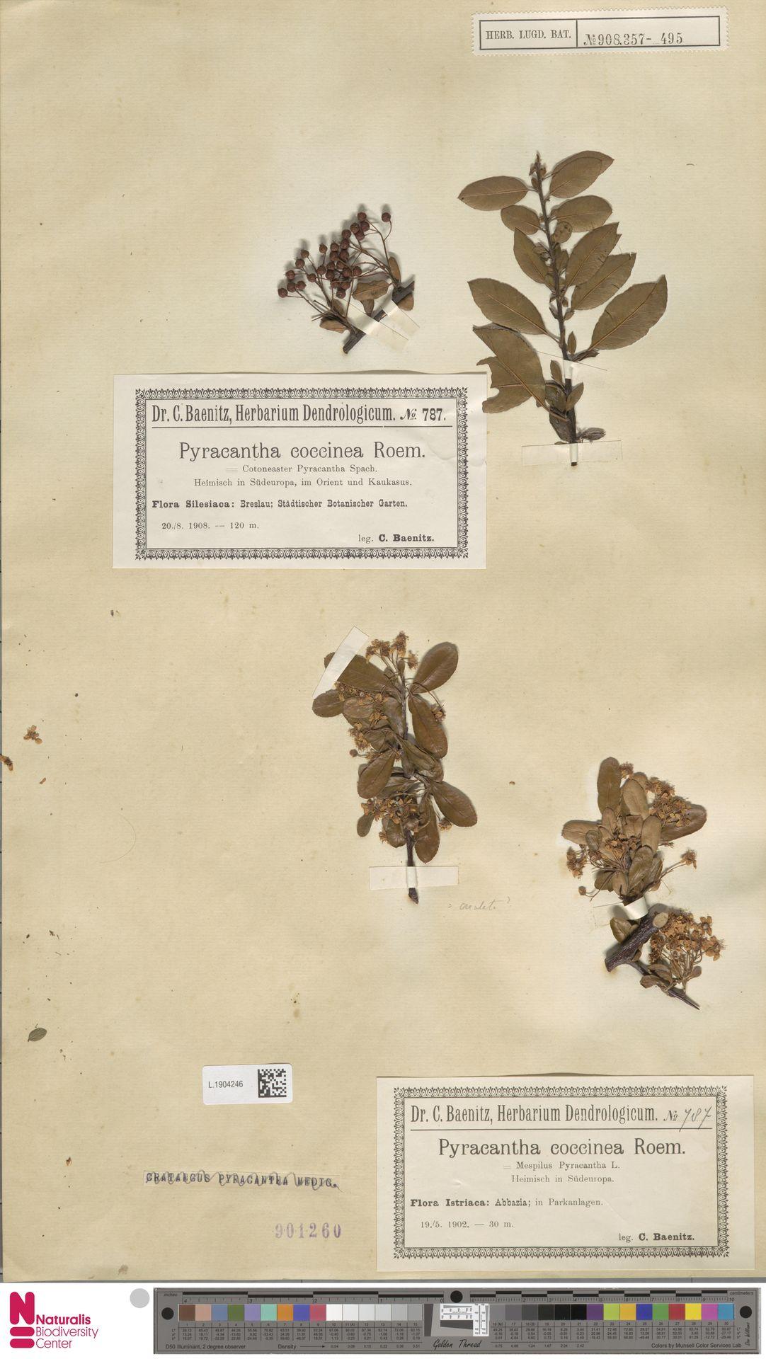L.1904246 | Pyracantha coccinea M.Roem.