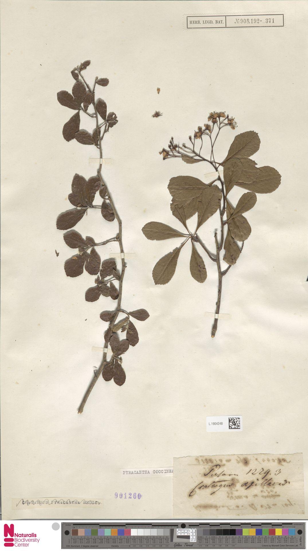 L.1904248 | Pyracantha coccinea M.Roem.