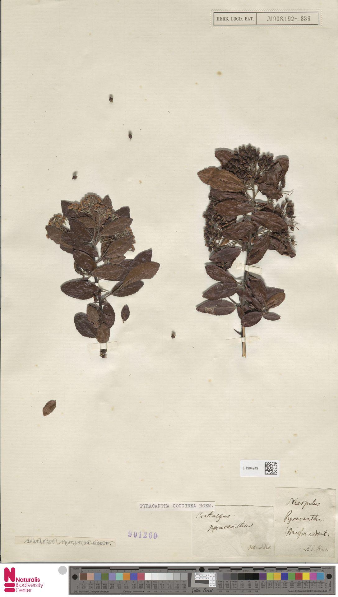L.1904249 | Pyracantha coccinea M.Roem.