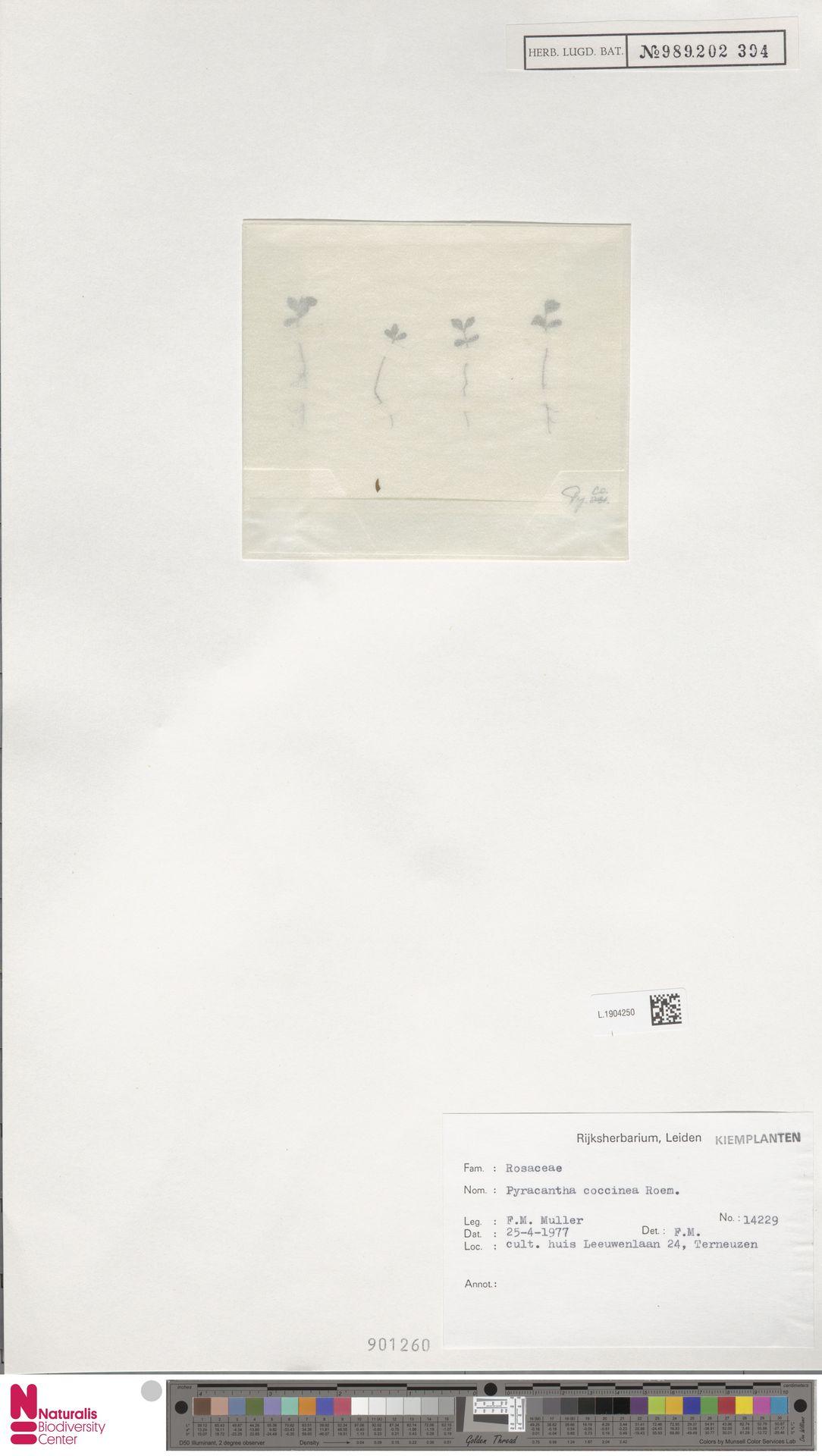 L.1904250 | Pyracantha coccinea M.Roem.