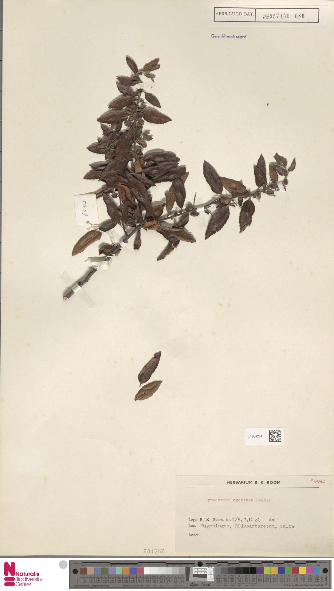 L.1904251 | Pyracantha coccinea M.Roem.