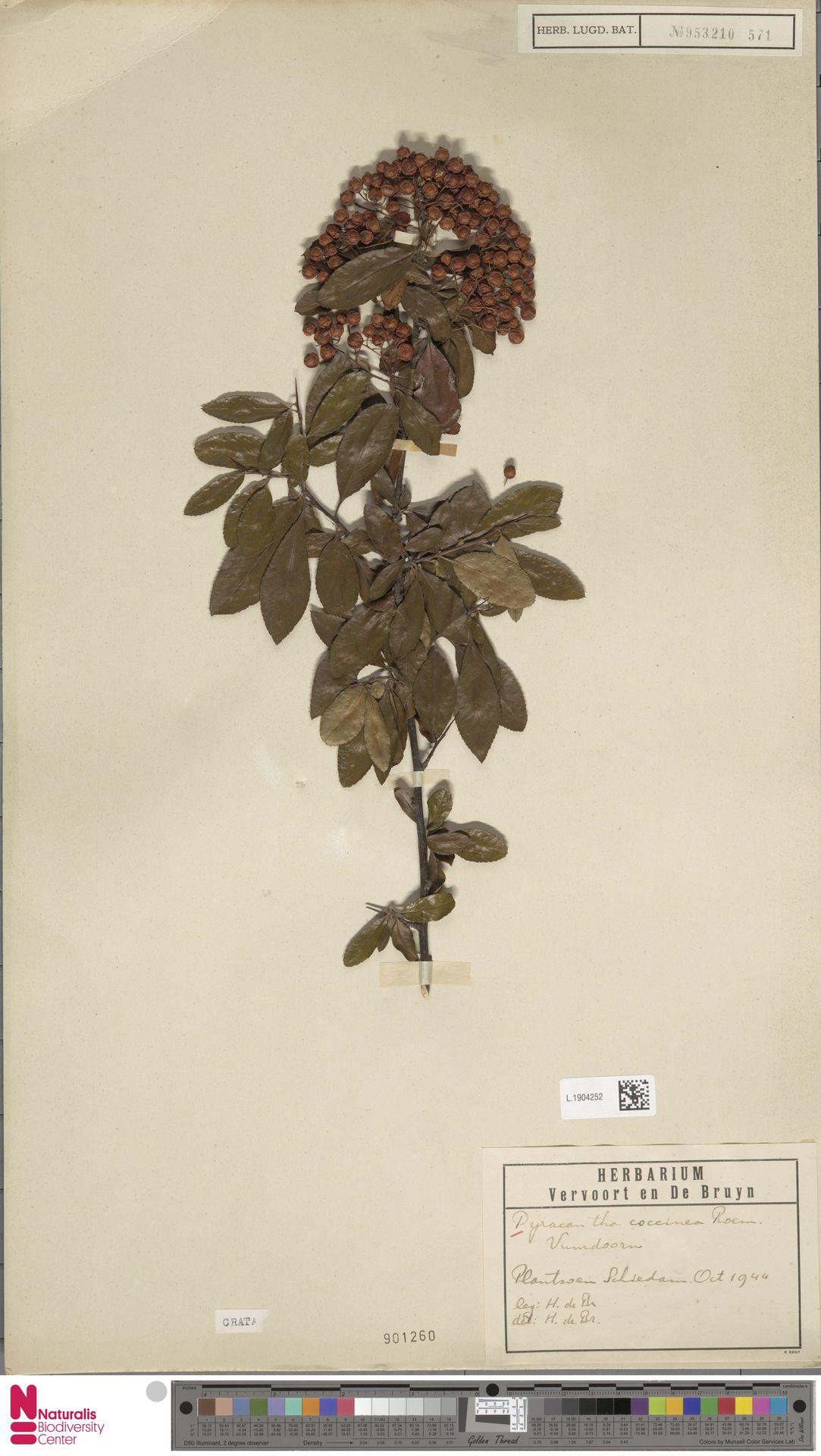 L.1904252   Pyracantha coccinea M.Roem.