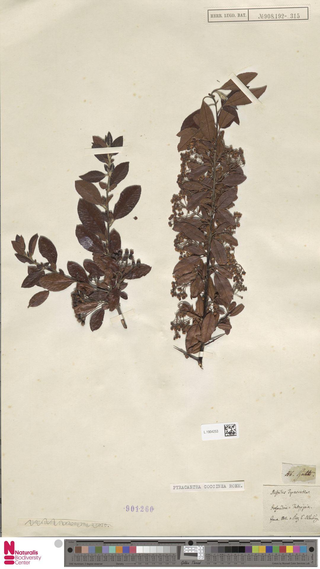 L.1904253 | Pyracantha coccinea M.Roem.