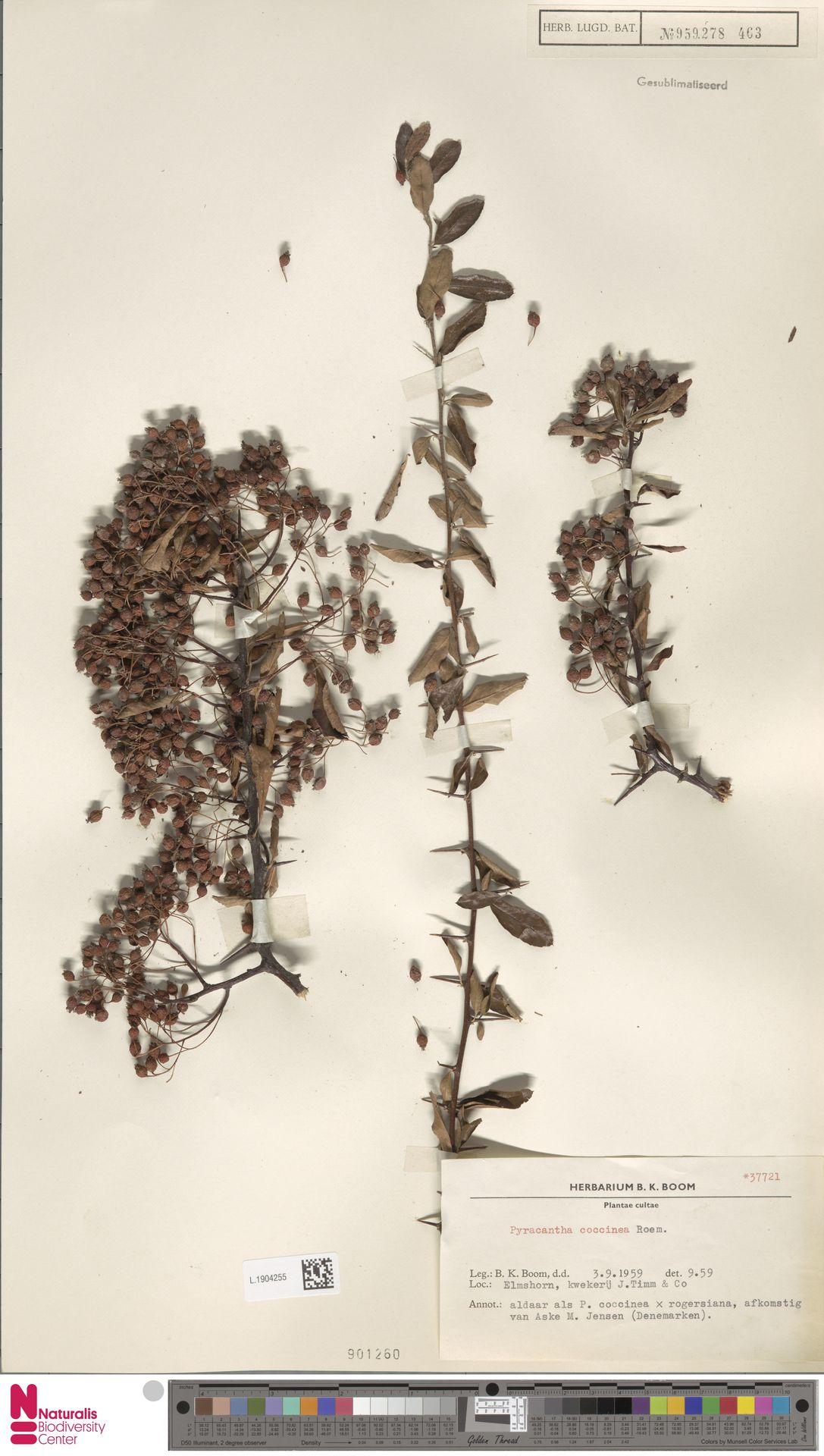 L.1904255 | Pyracantha coccinea M.Roem.