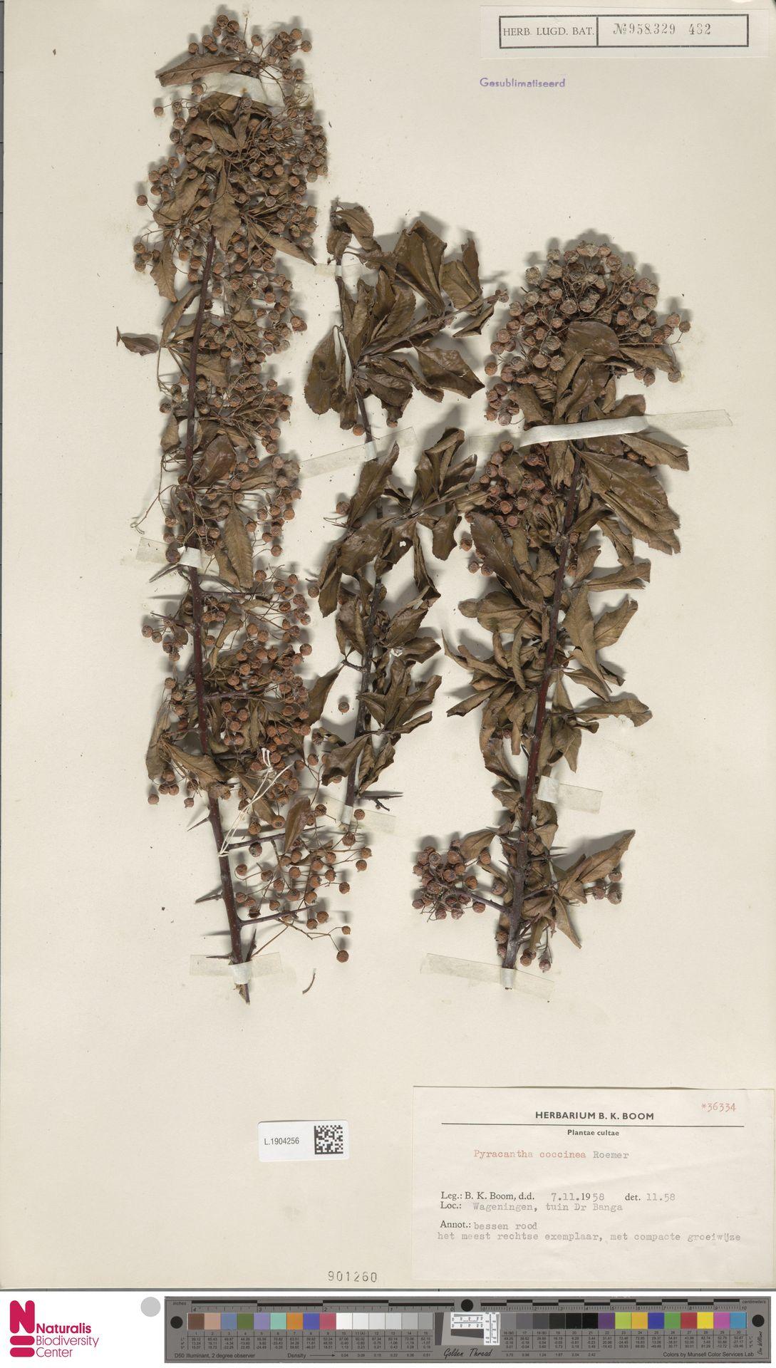 L.1904256 | Pyracantha coccinea M.Roem.