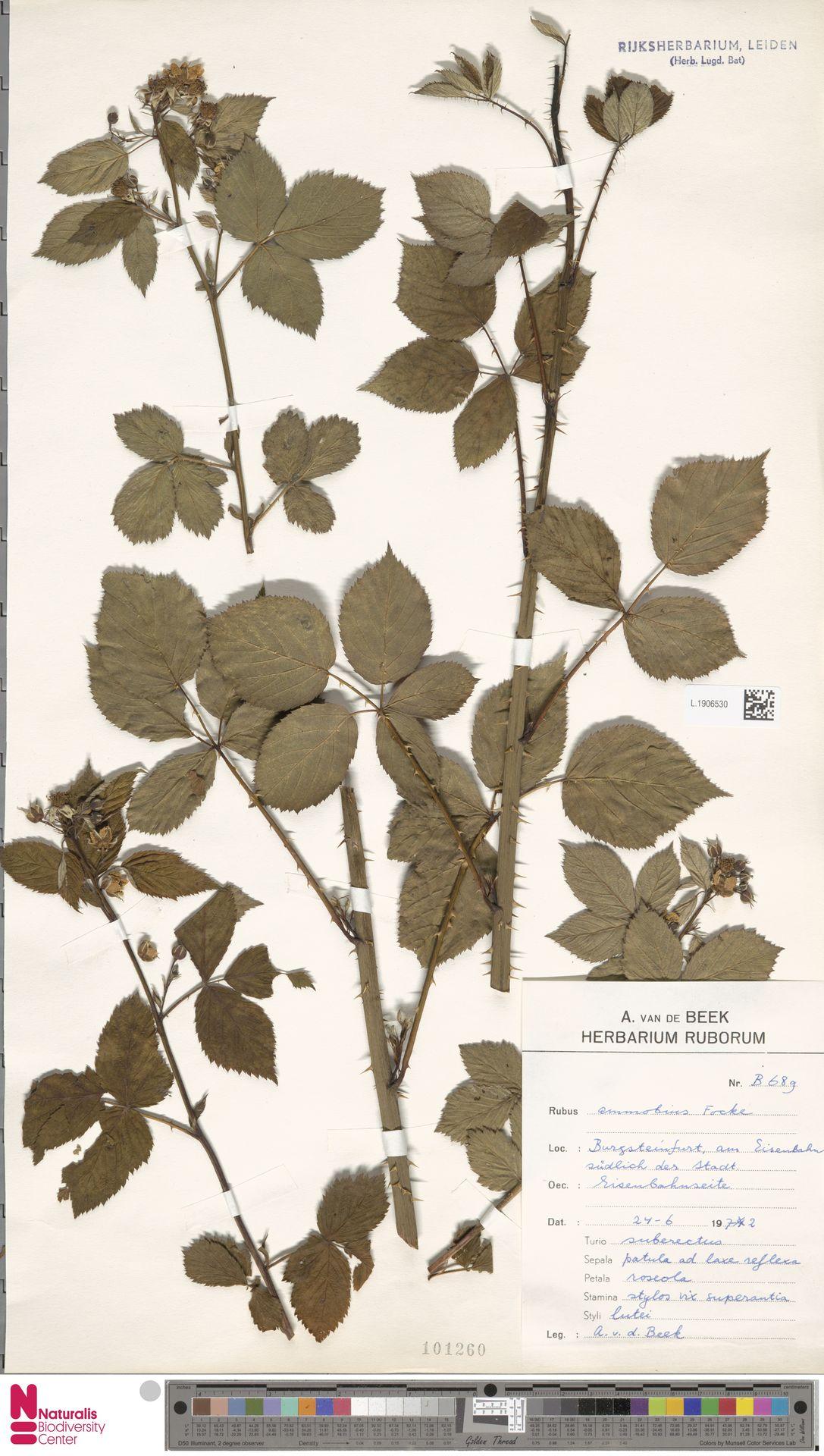 L.1906530 | Rubus ammobius Focke