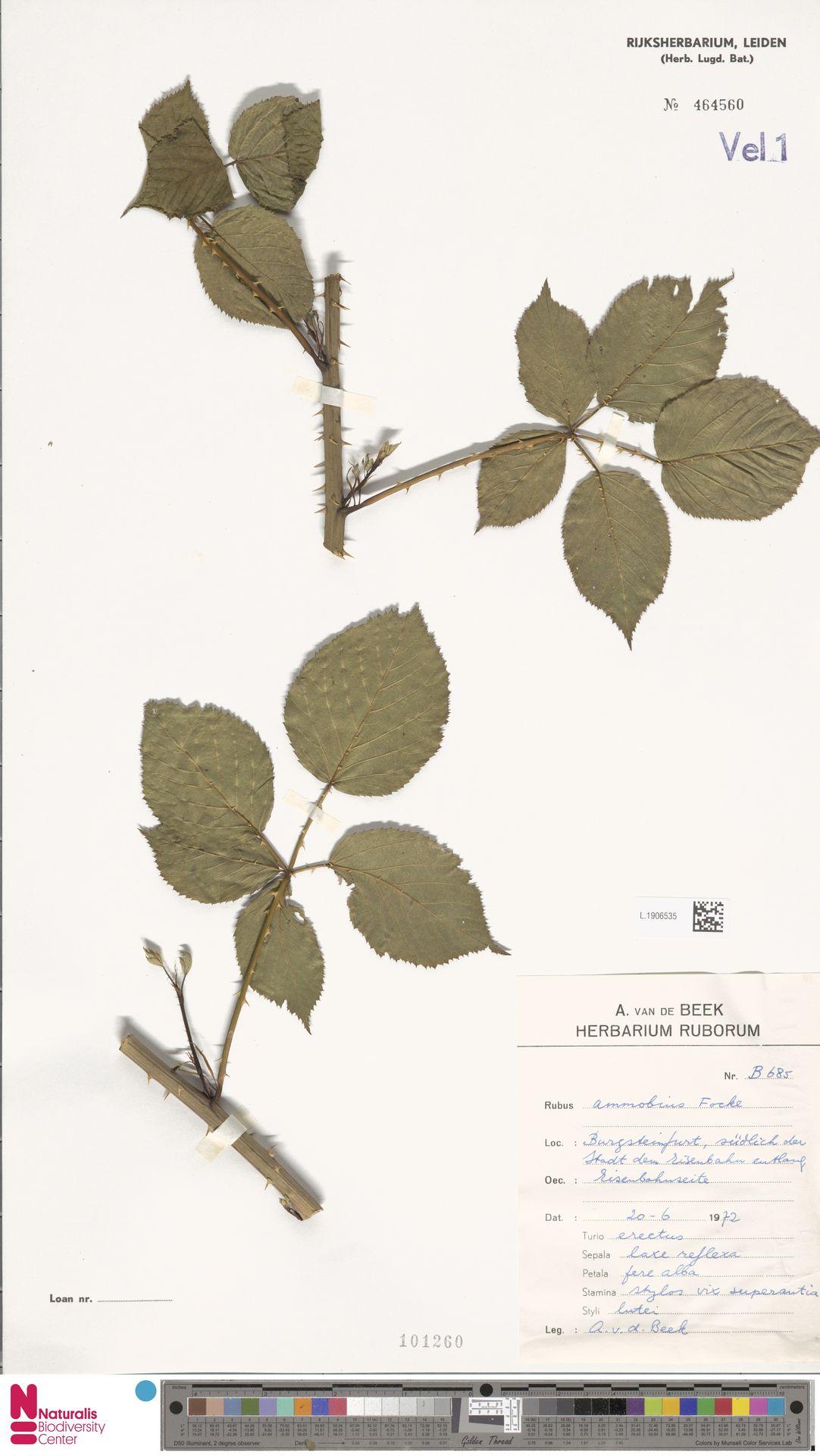 L.1906535 | Rubus ammobius Focke