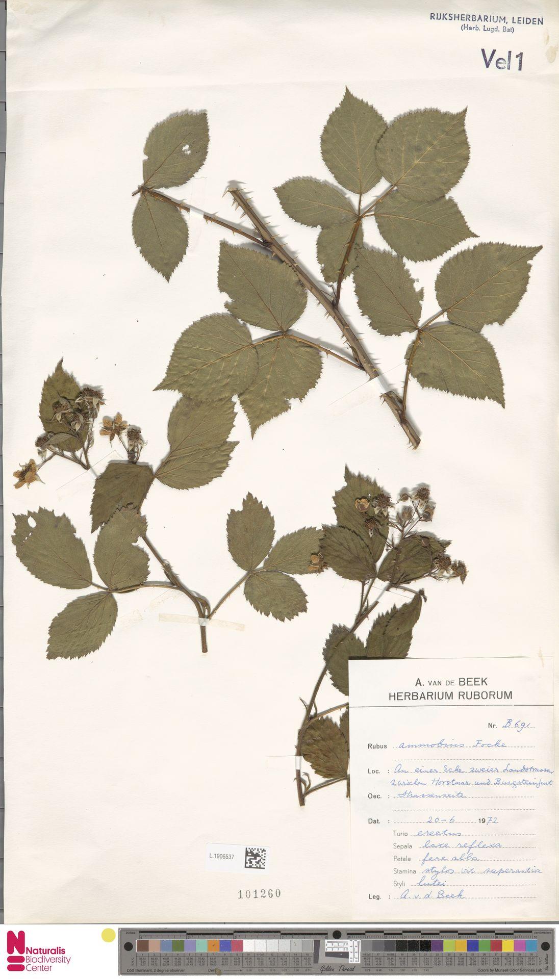 L.1906537 | Rubus ammobius Focke