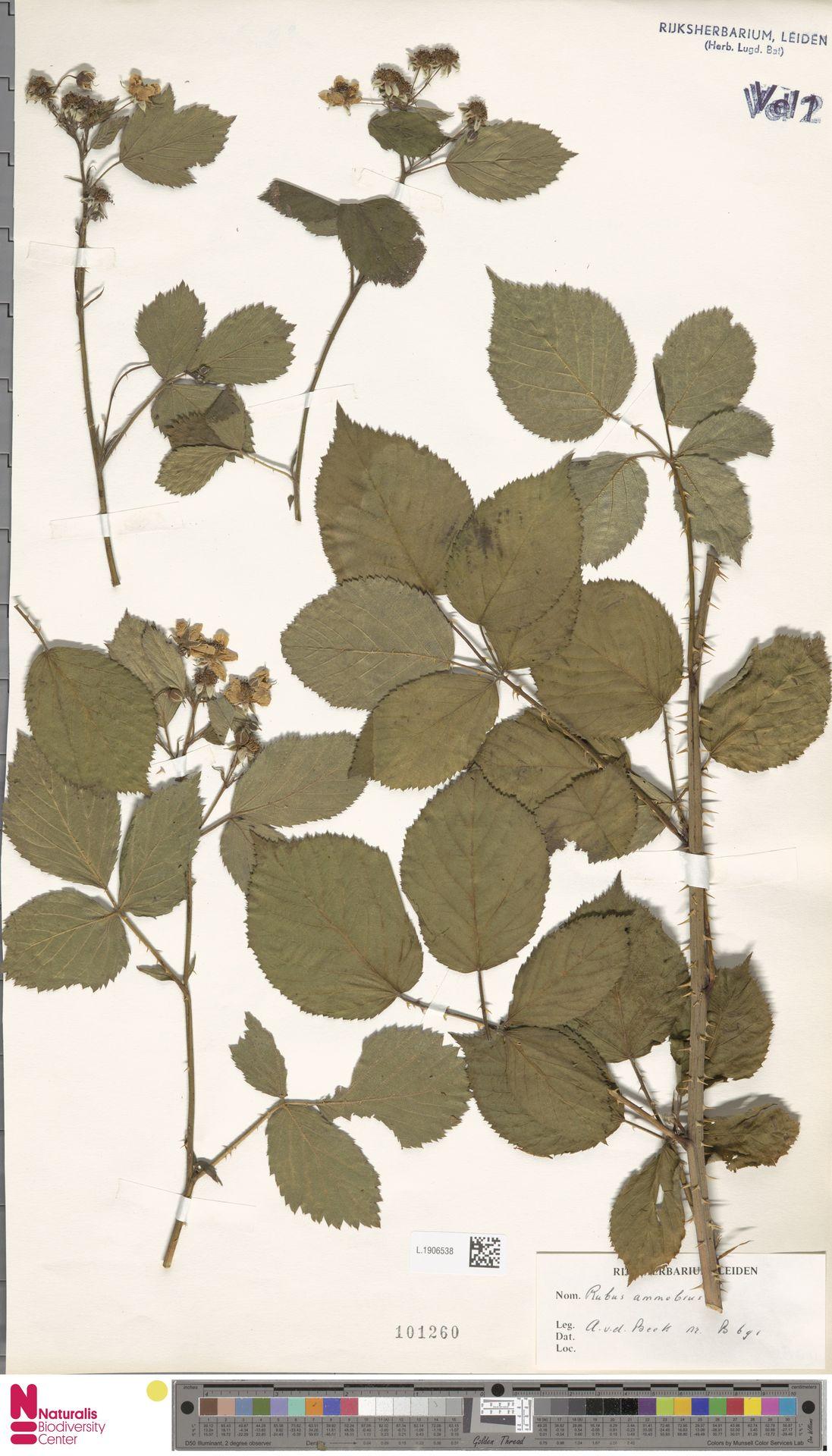 L.1906538   Rubus ammobius Focke