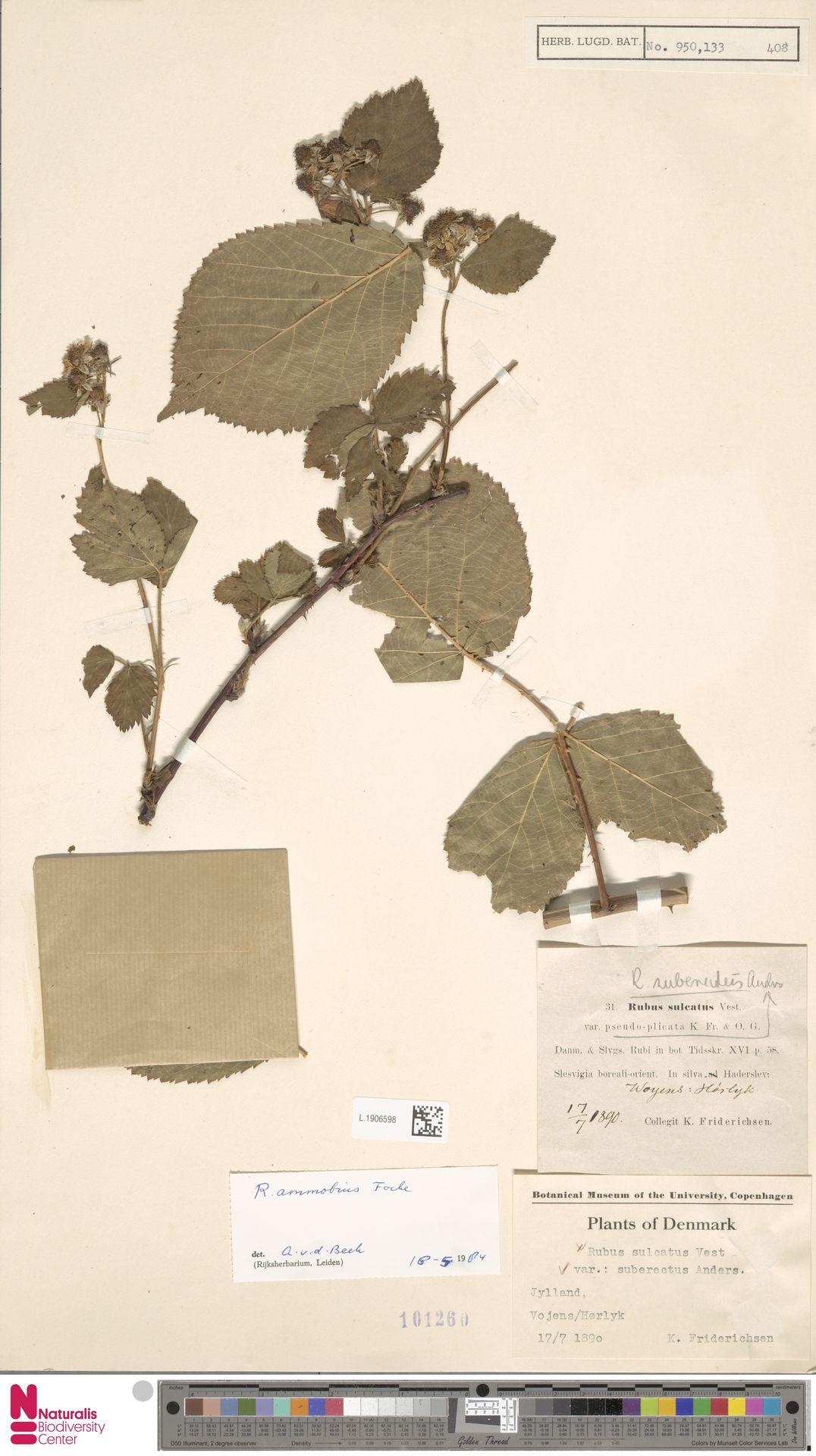 L.1906598 | Rubus ammobius Focke