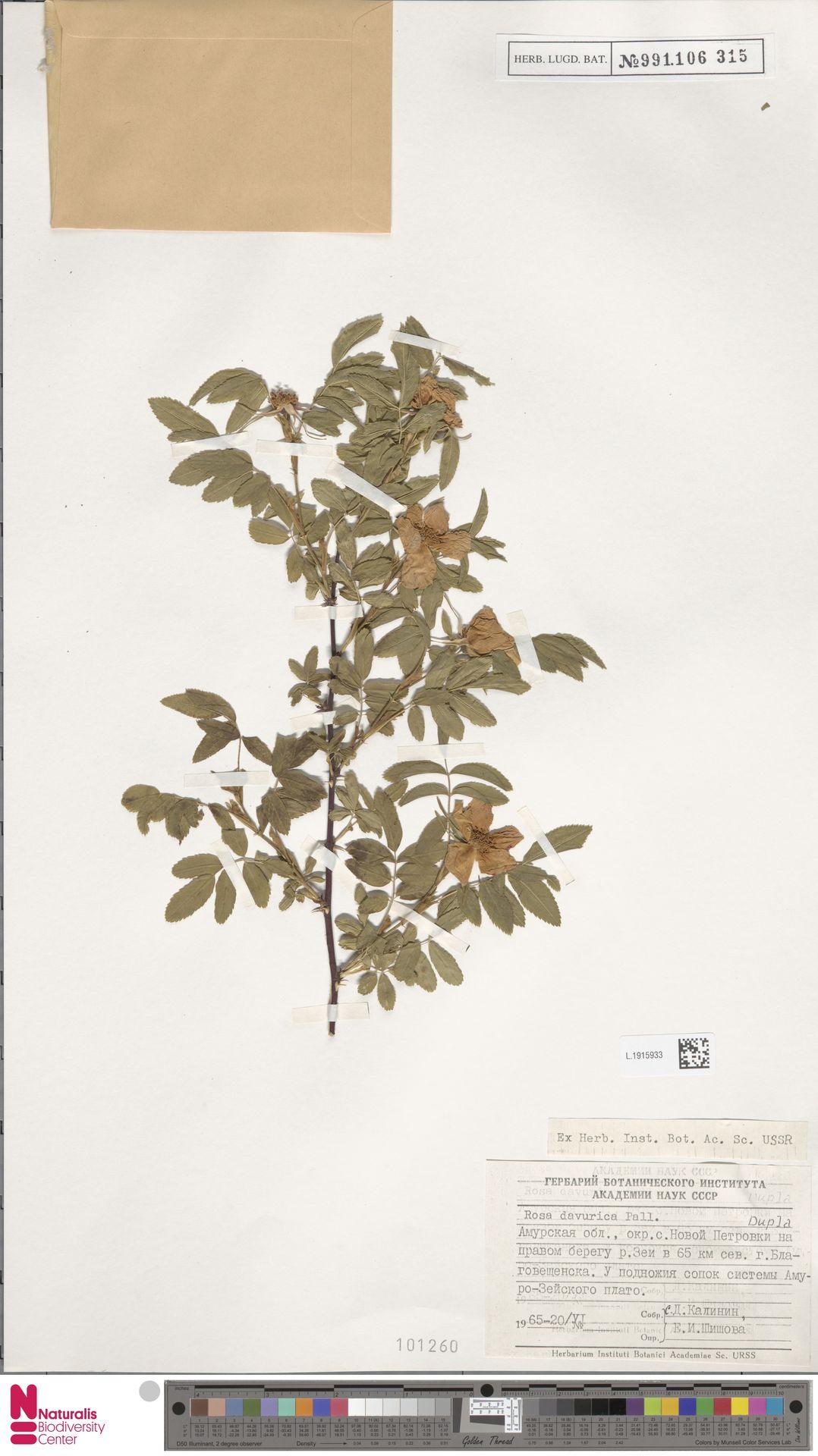 L.1915933 | Rosa davurica Pall.