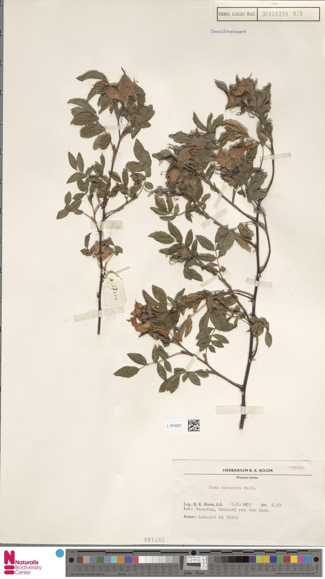 L.1915937 | Rosa davurica Pall.