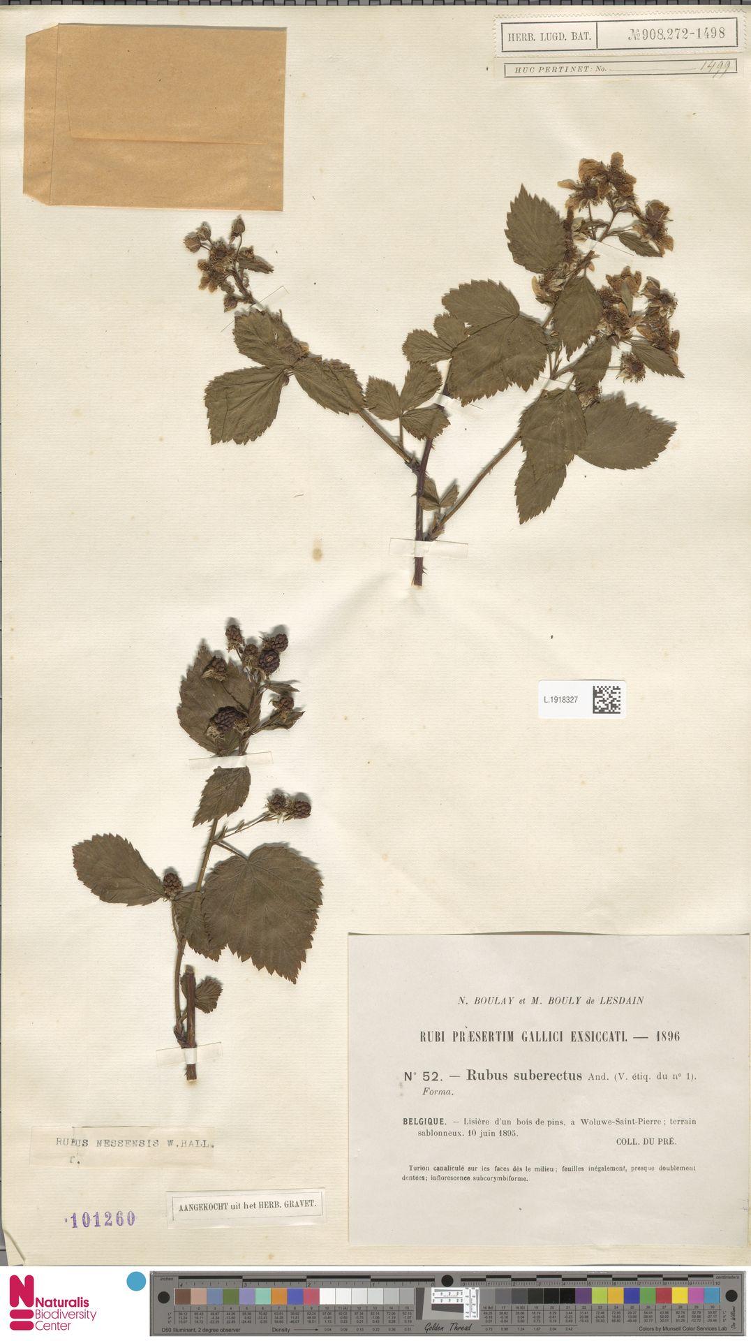 L.1918327 | Rubus nessensis Hall