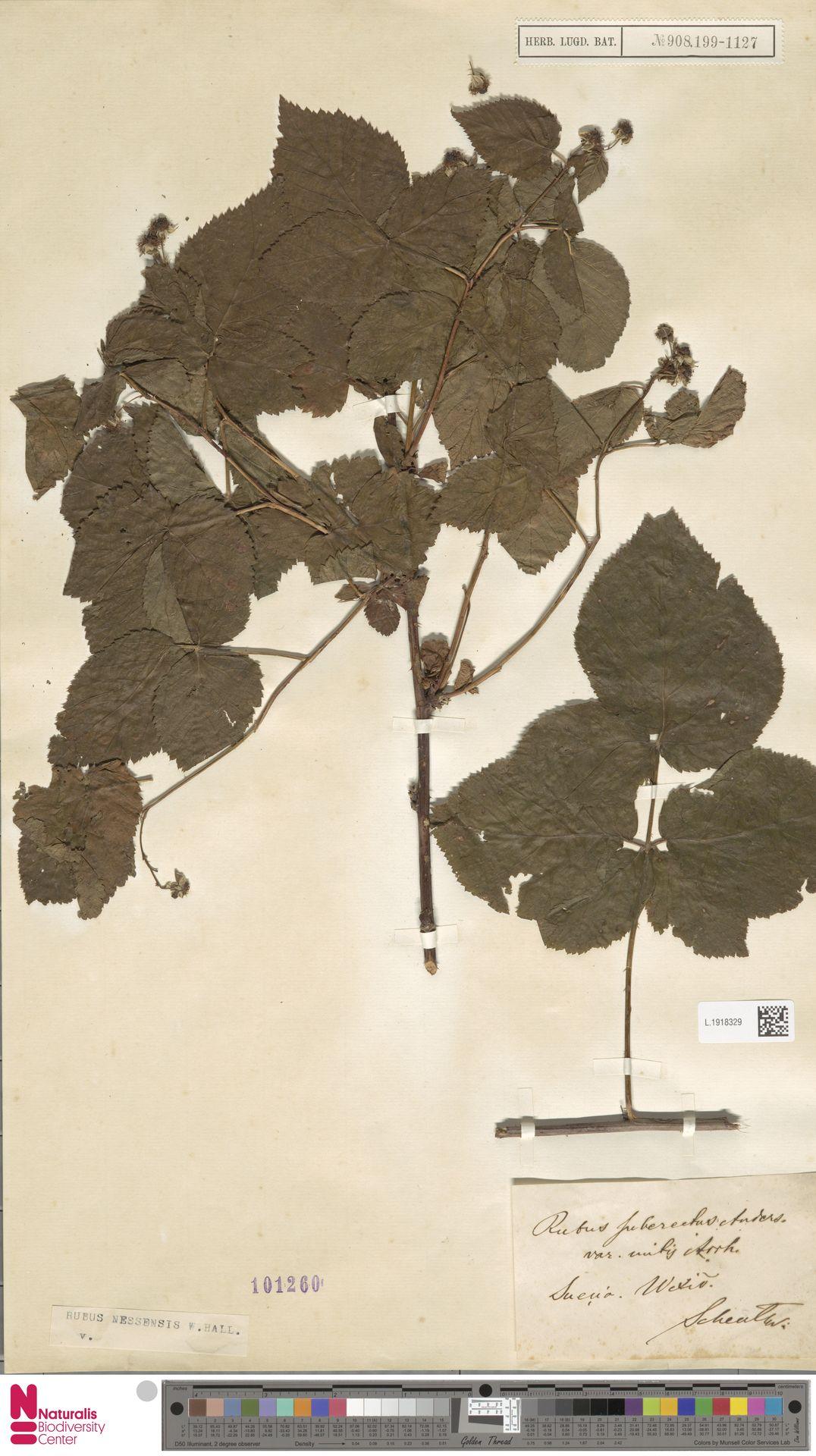 L.1918329 | Rubus nessensis Hall