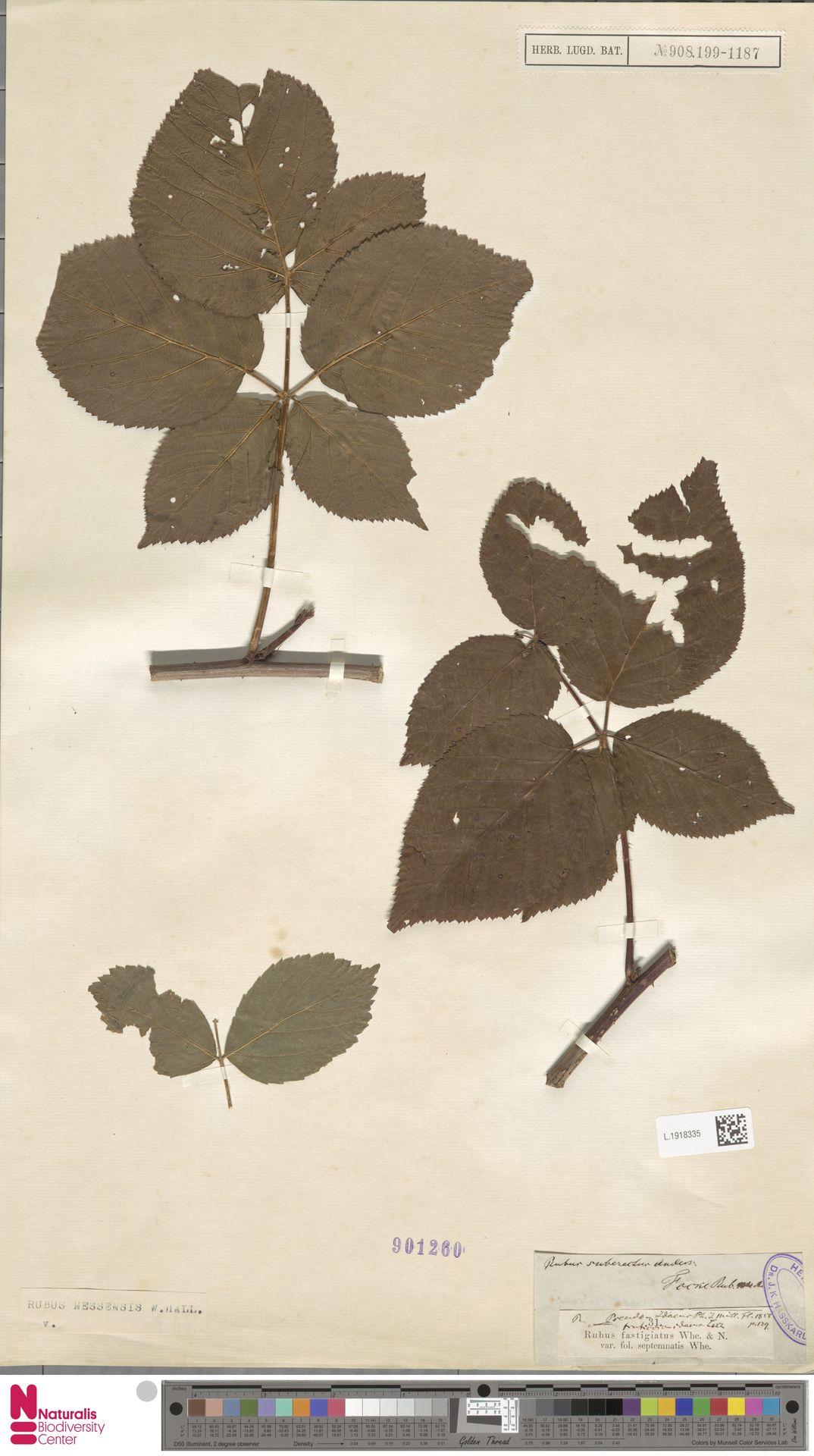 L.1918335   Rubus nessensis Hall