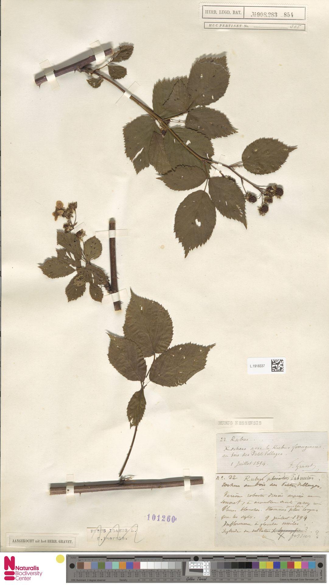 L.1918337 | Rubus nessensis Hall