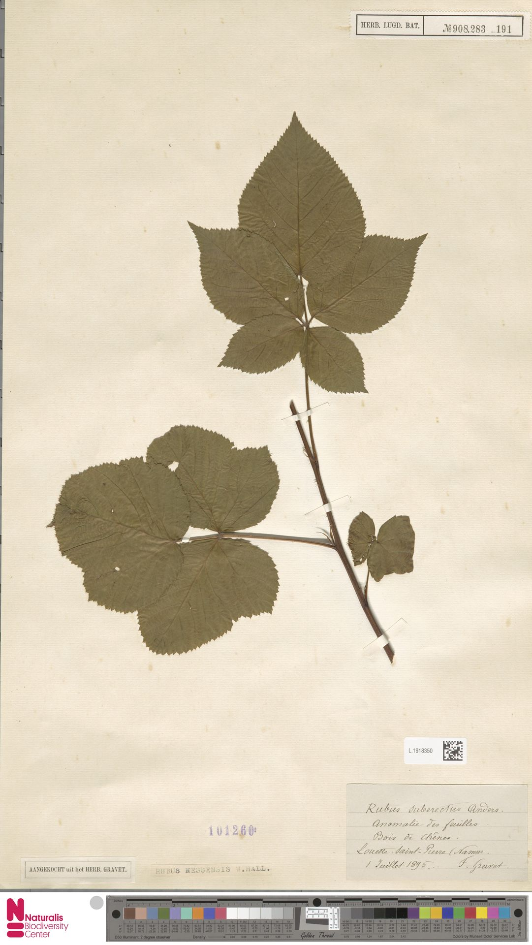 L.1918350 | Rubus nessensis Hall