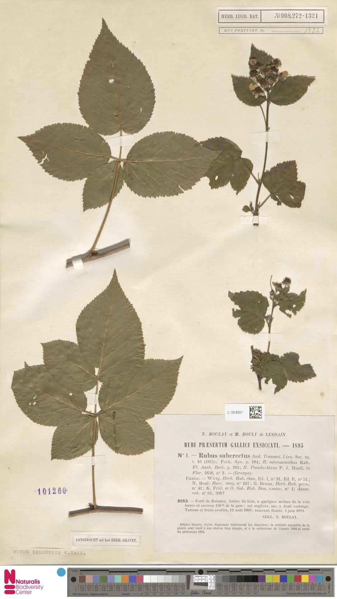 L.1918351 | Rubus nessensis Hall