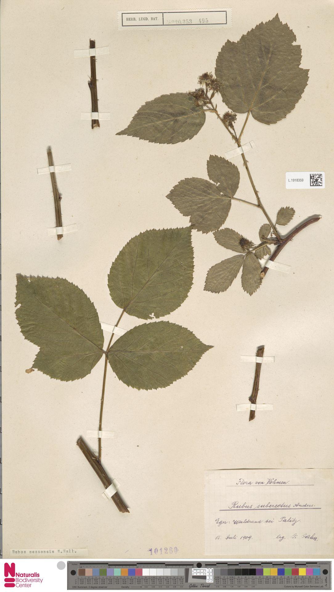 L.1918359 | Rubus nessensis Hall