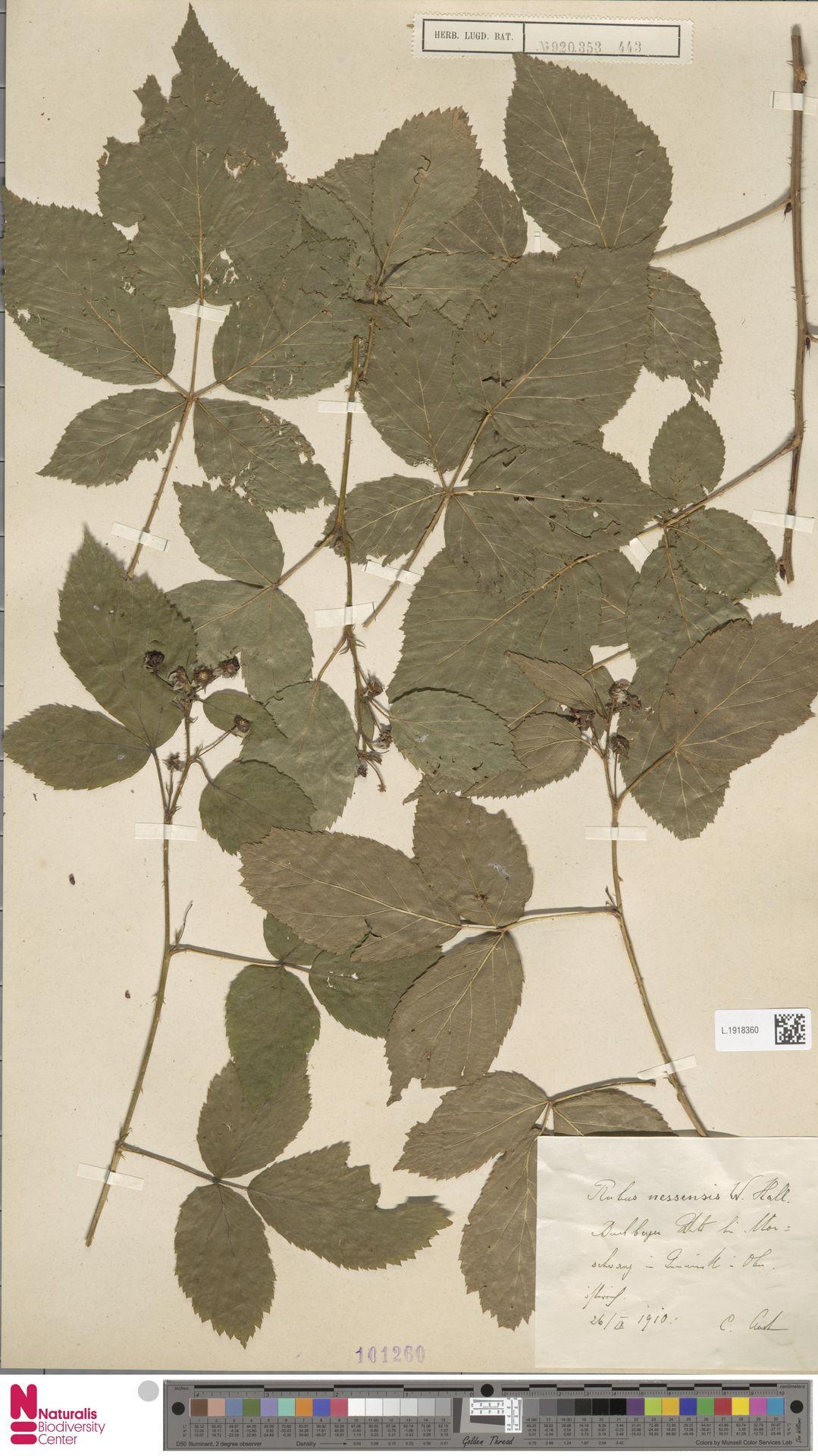 L.1918360 | Rubus nessensis Hall