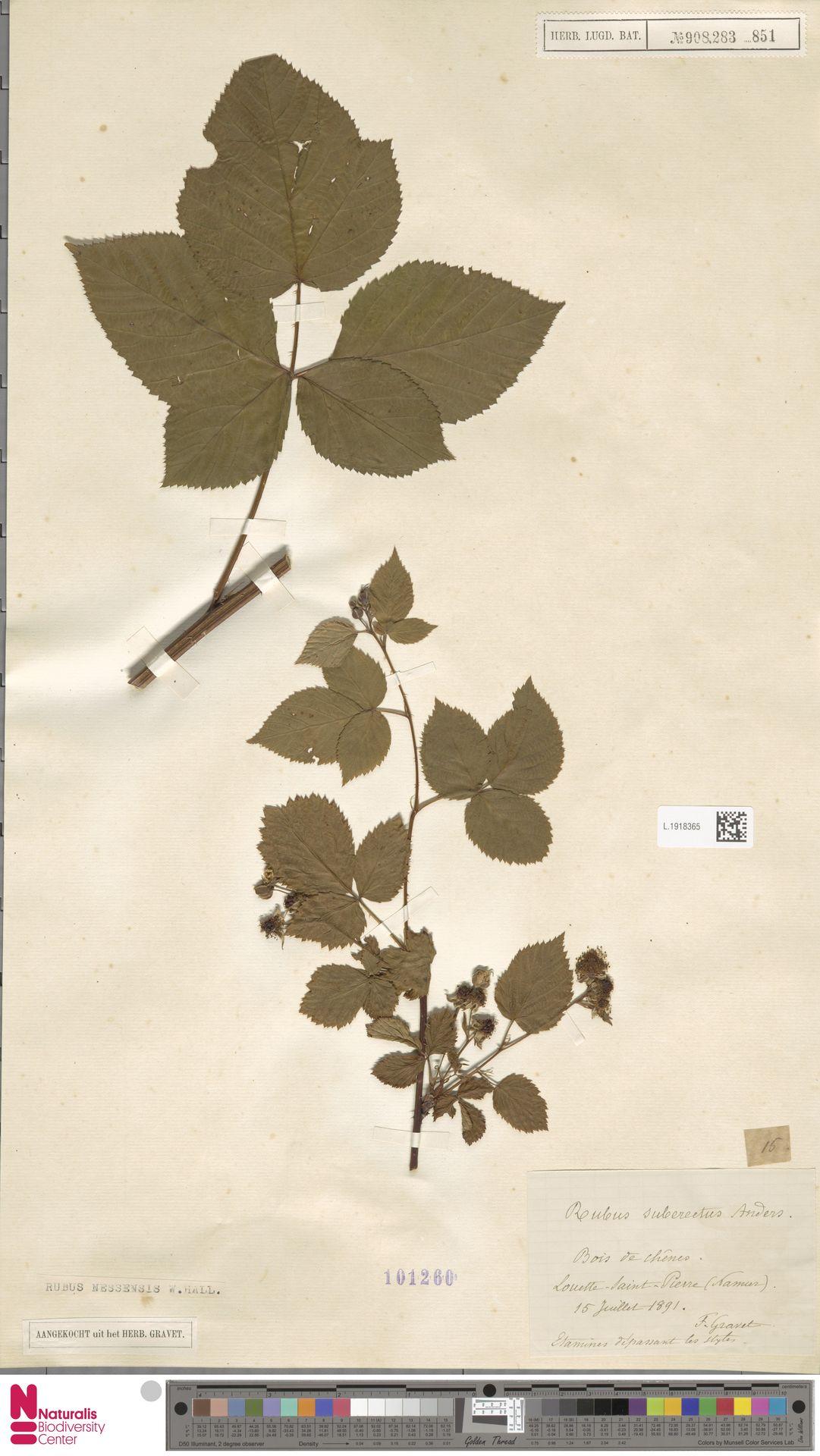 L.1918365   Rubus nessensis Hall
