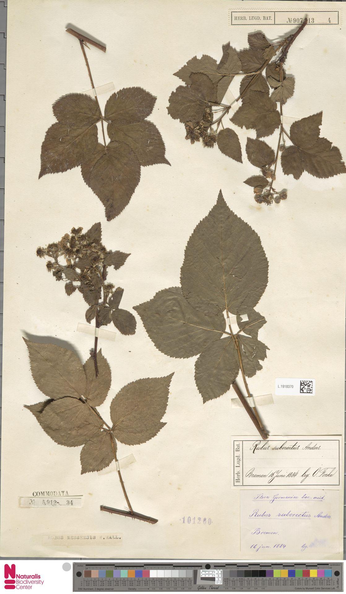 L.1918370 | Rubus nessensis Hall