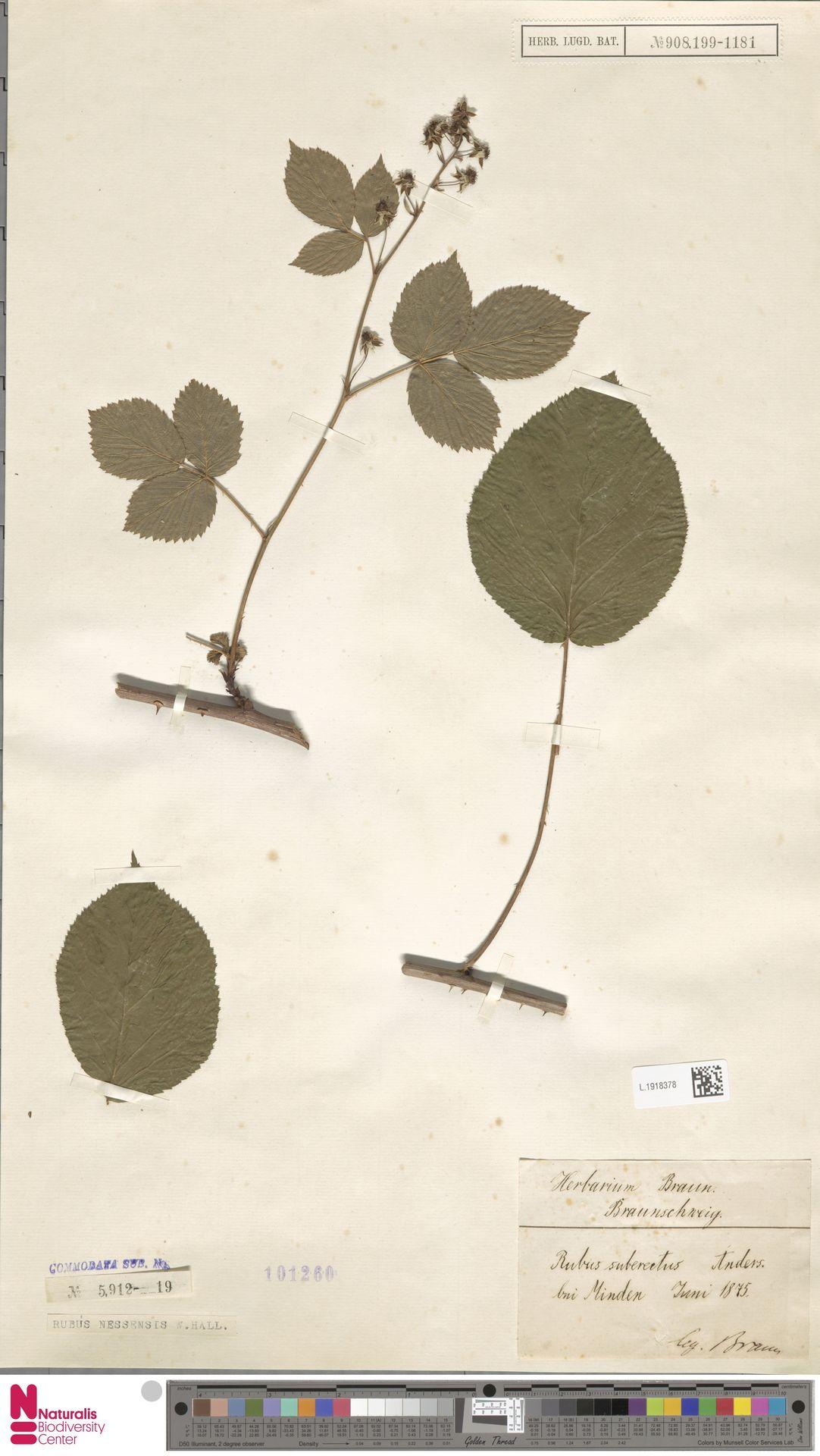 L.1918378   Rubus nessensis Hall