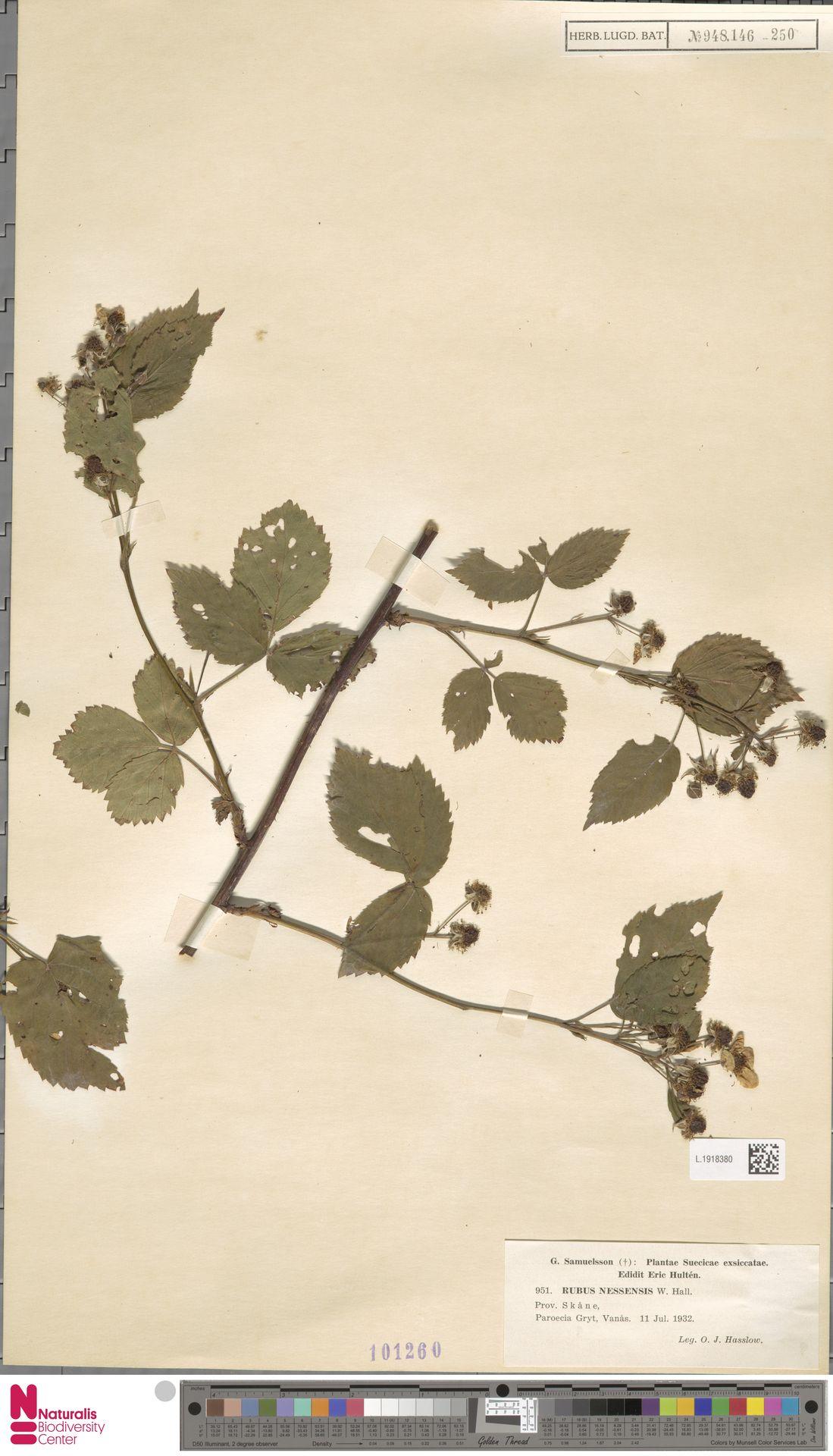 L.1918380 | Rubus nessensis Hall