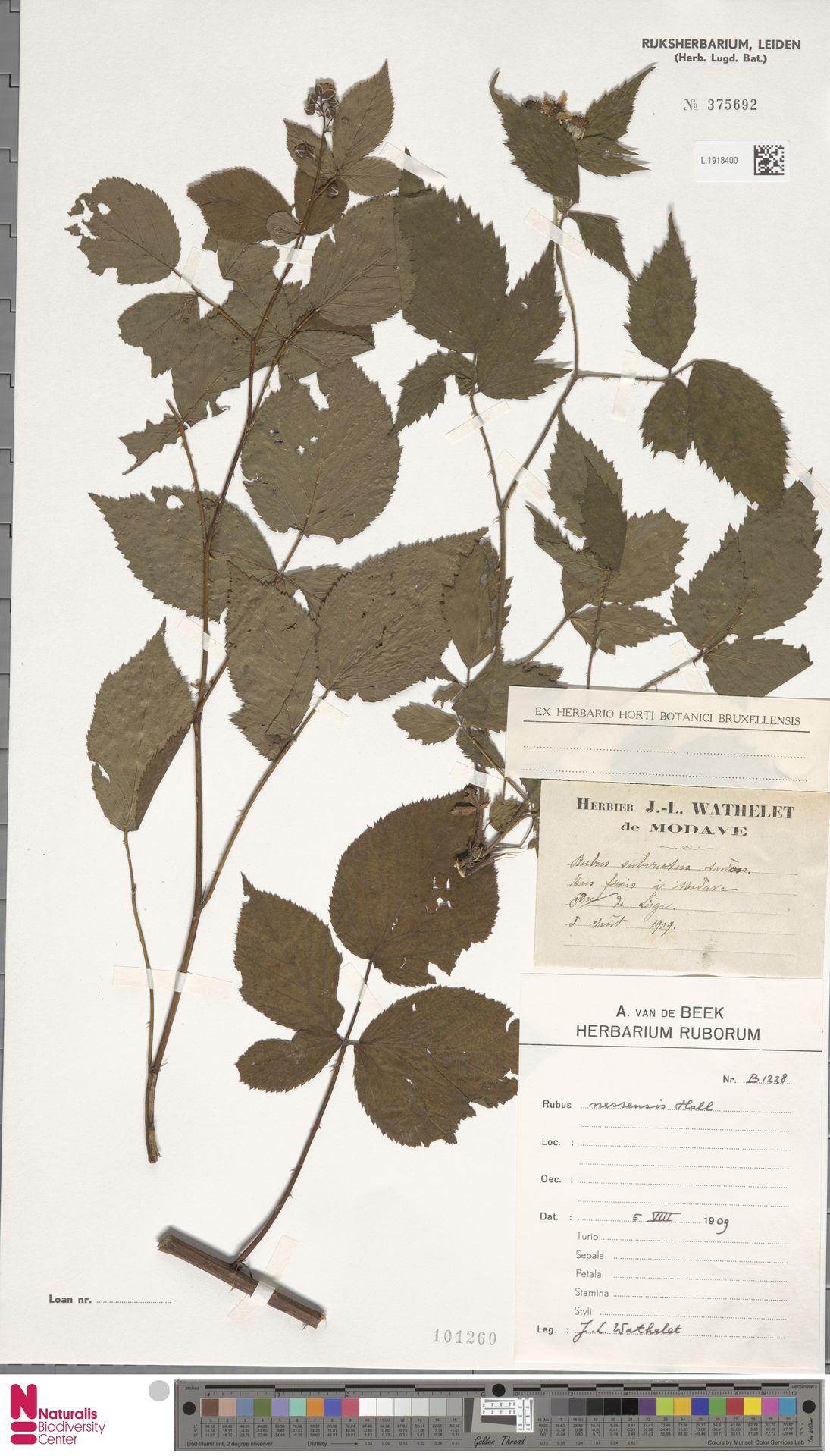 L.1918400 | Rubus nessensis Hall