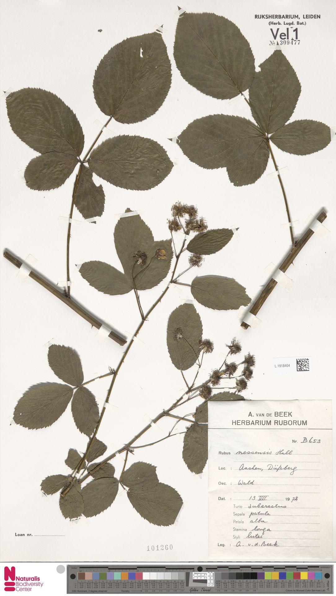 L.1918404 | Rubus nessensis Hall