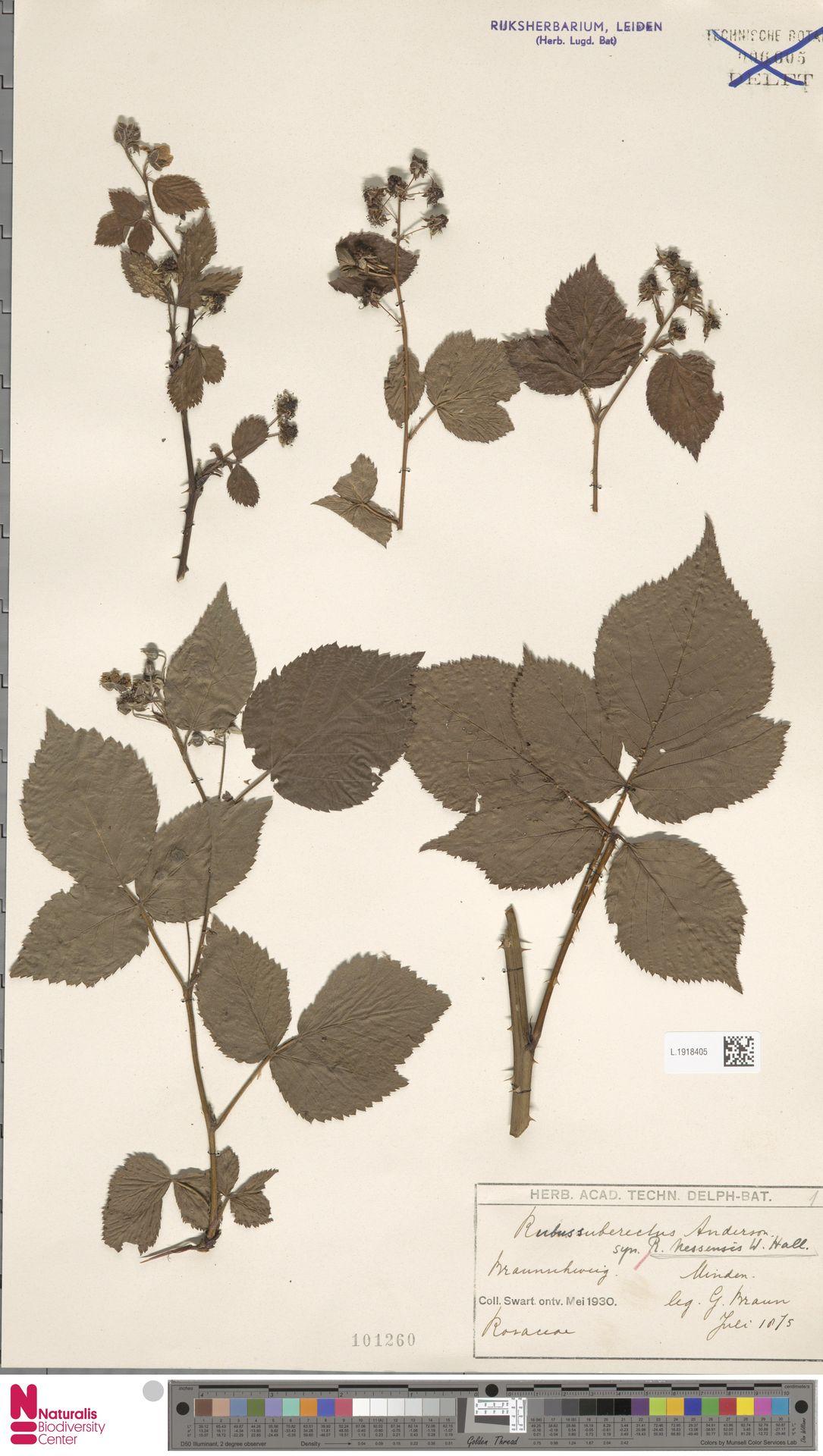L.1918405 | Rubus nessensis Hall