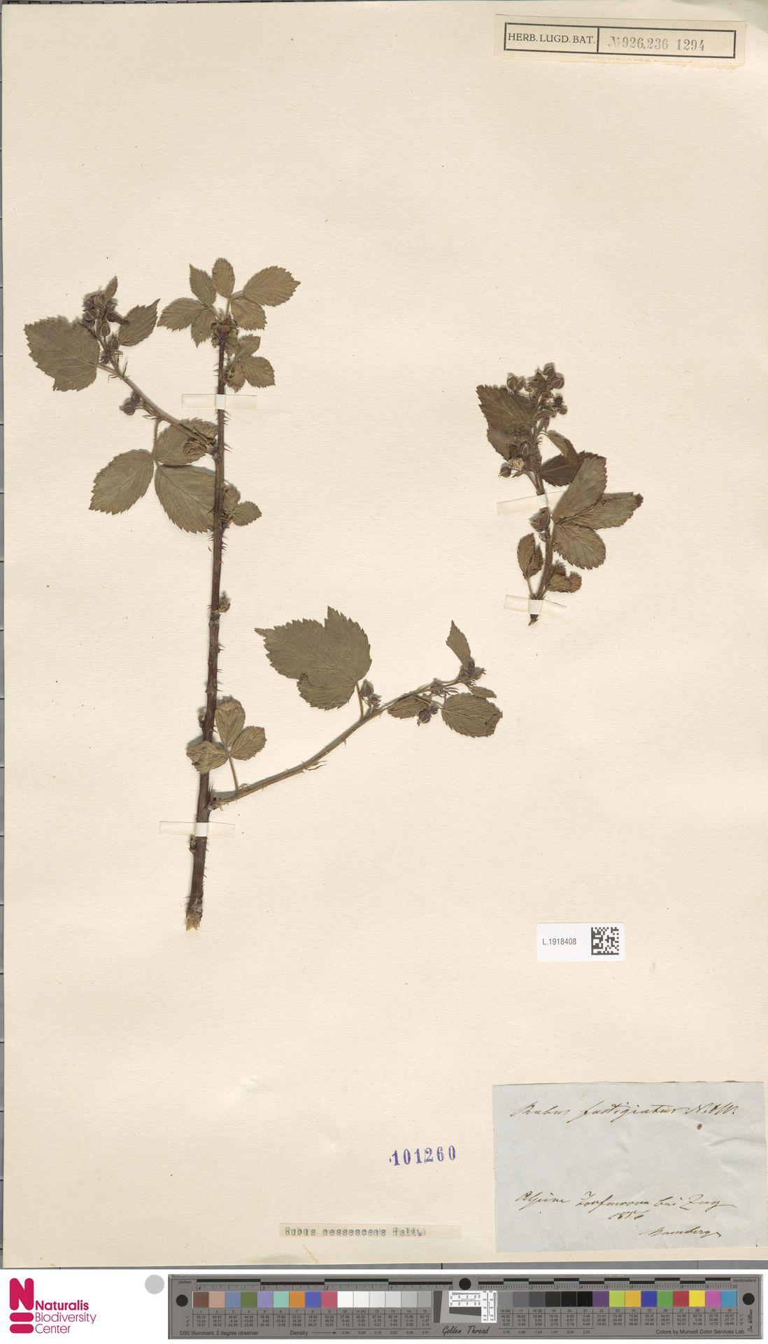 L.1918408 | Rubus nessensis Hall