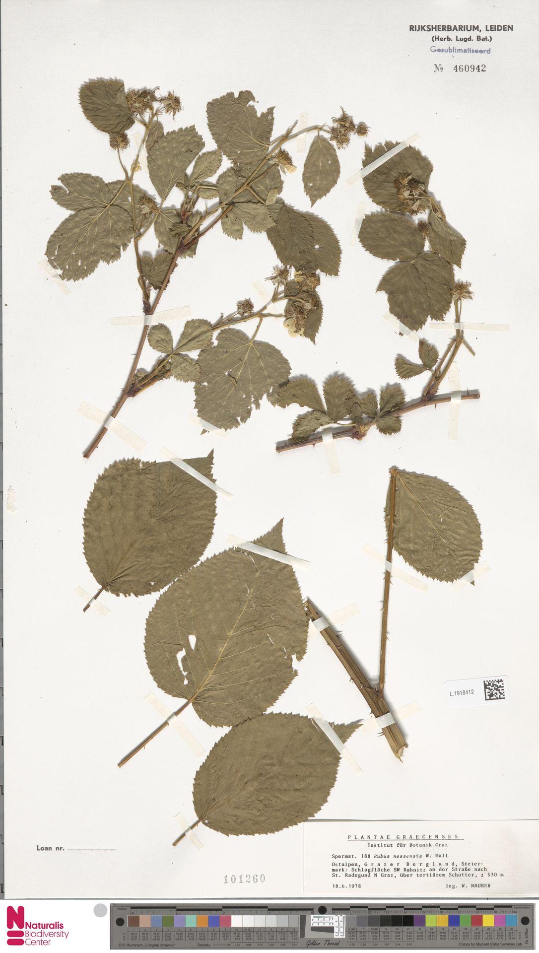 L.1918412   Rubus nessensis Hall