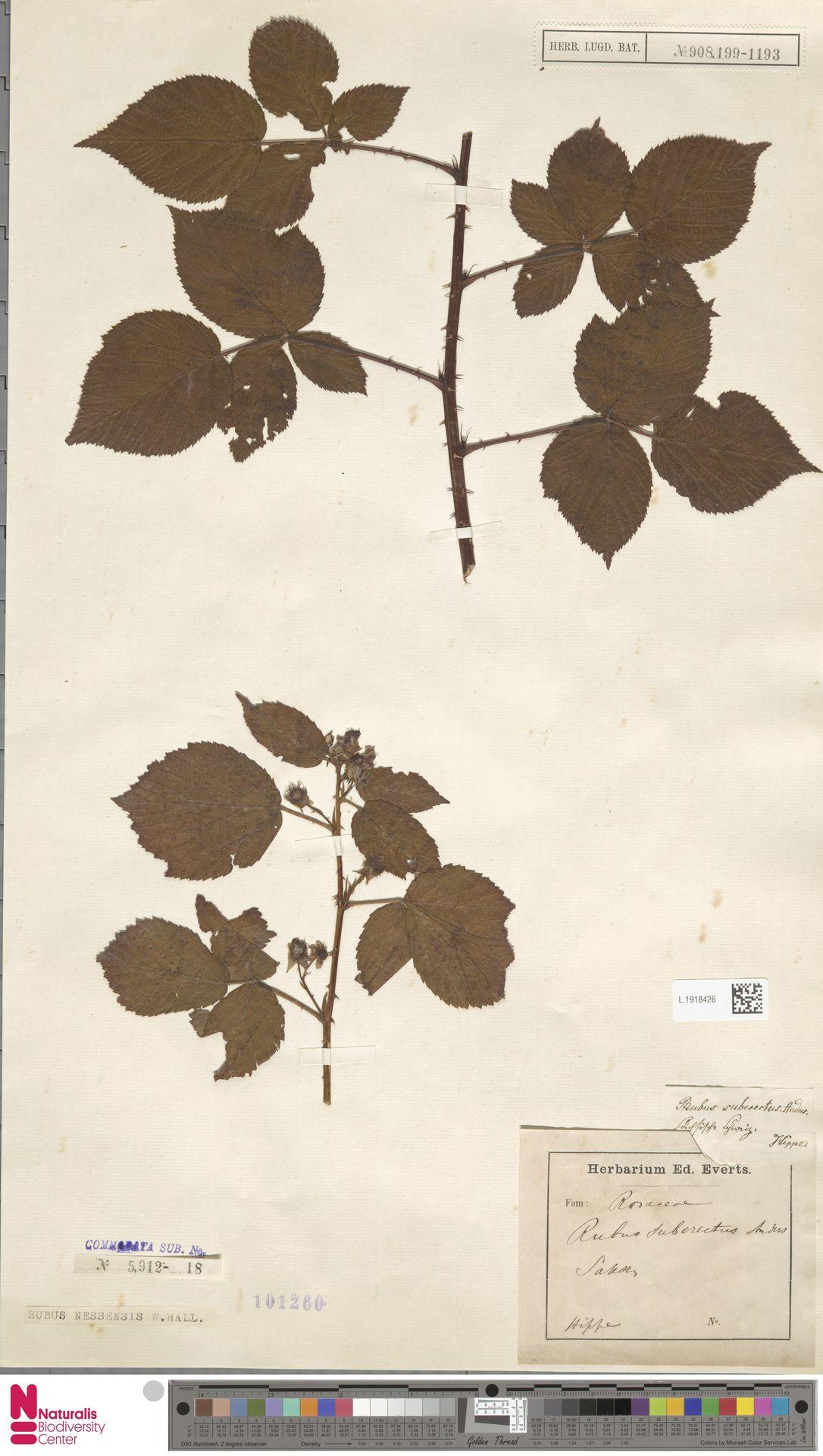 L.1918426 | Rubus nessensis Hall