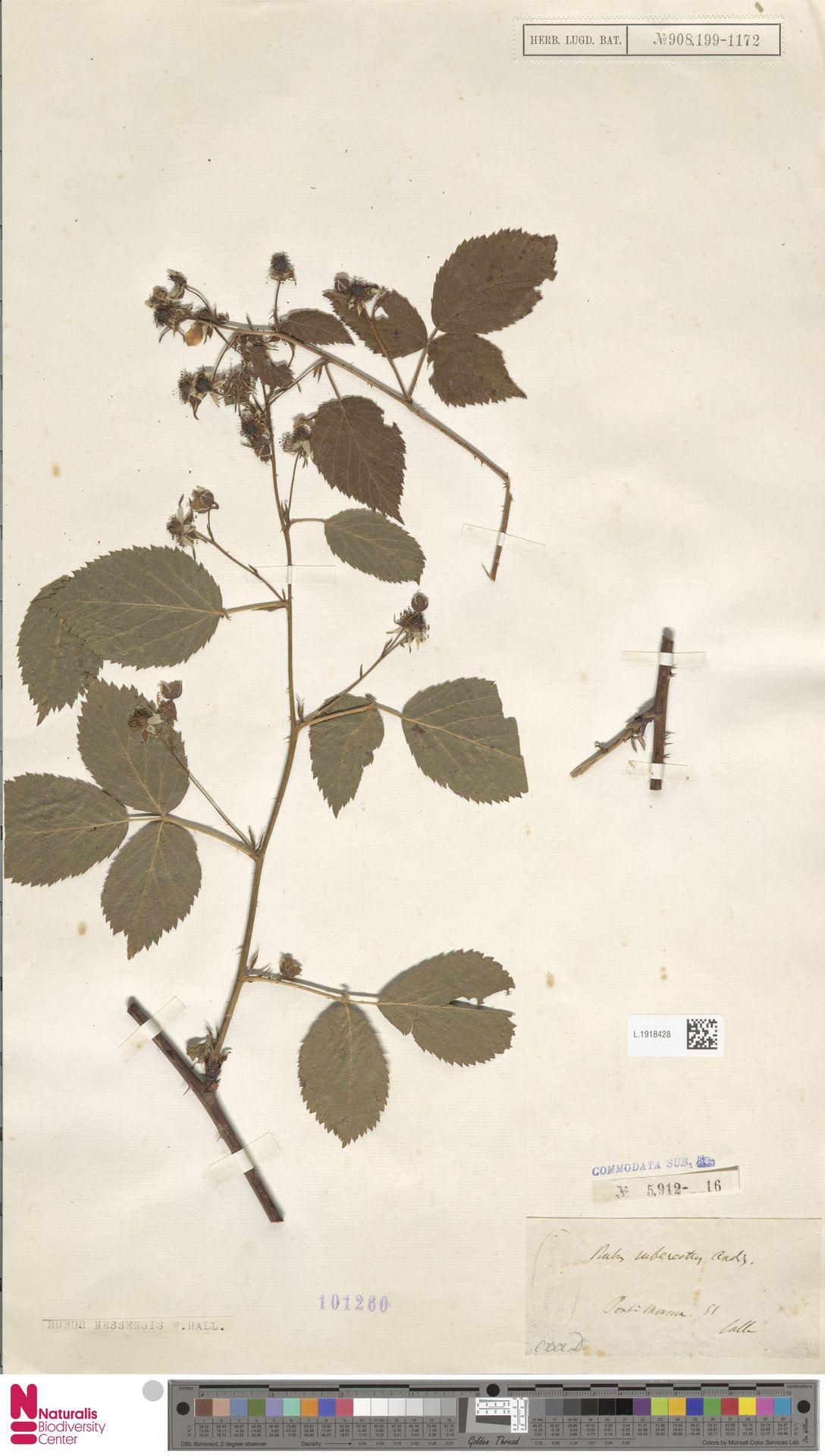 L.1918428   Rubus nessensis Hall