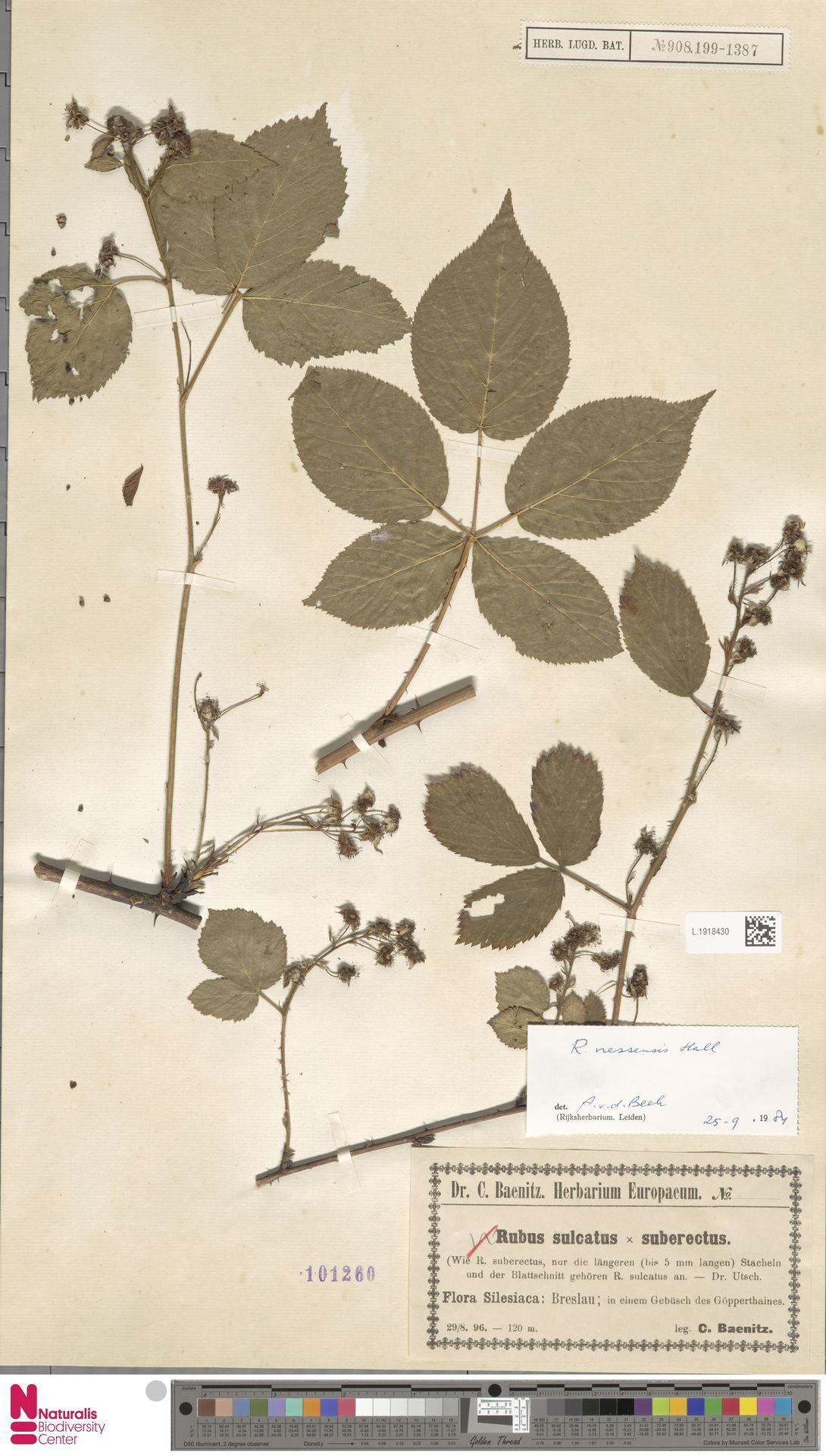 L.1918430 | Rubus nessensis Hall
