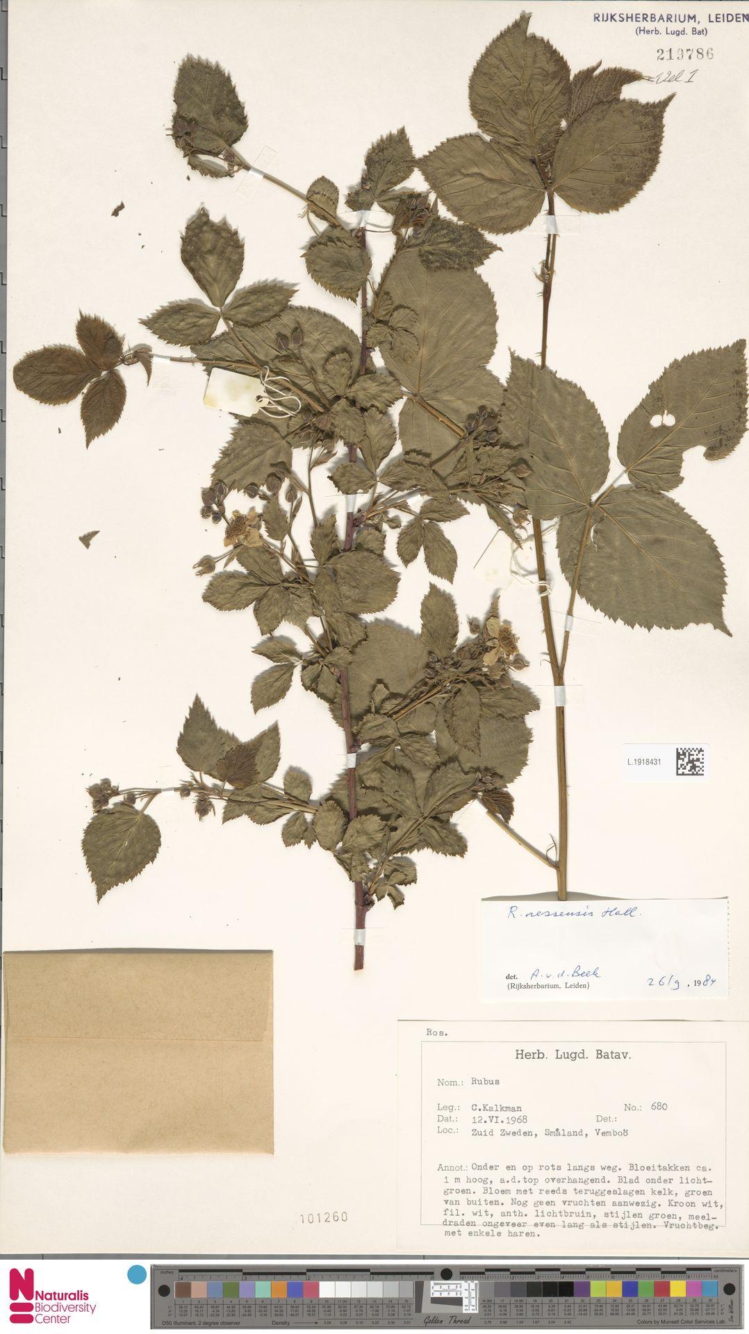 L.1918431   Rubus nessensis Hall
