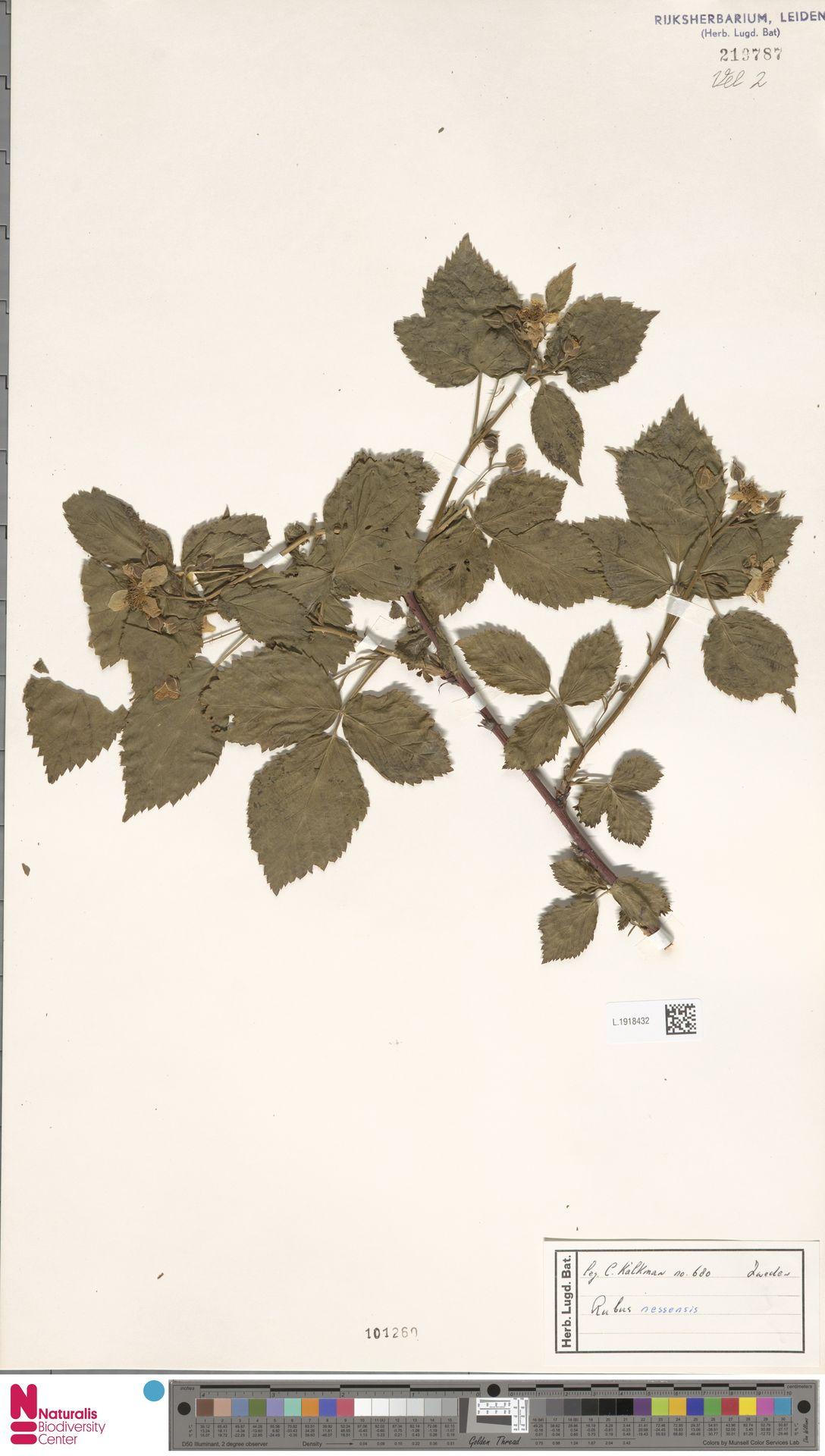 L.1918432 | Rubus nessensis Hall