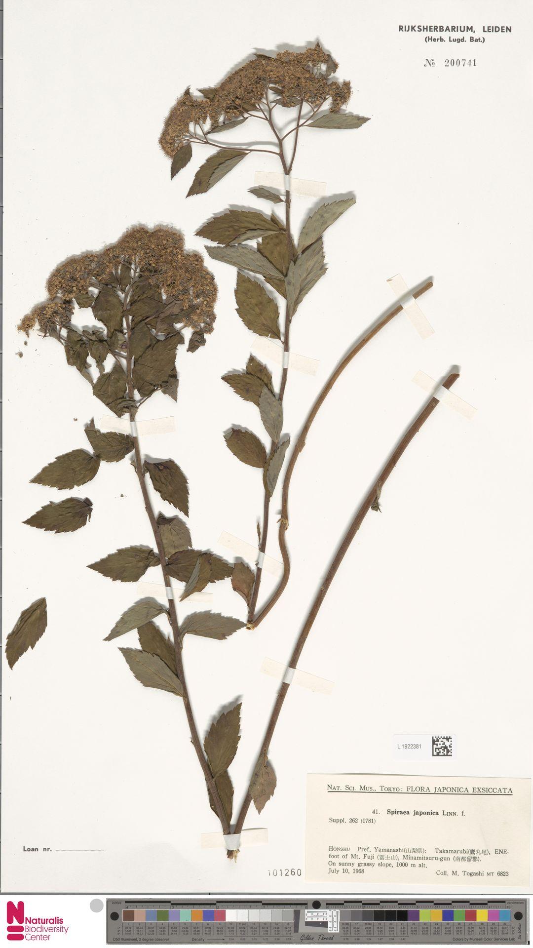 L.1922381   Spiraea japonica L.f.