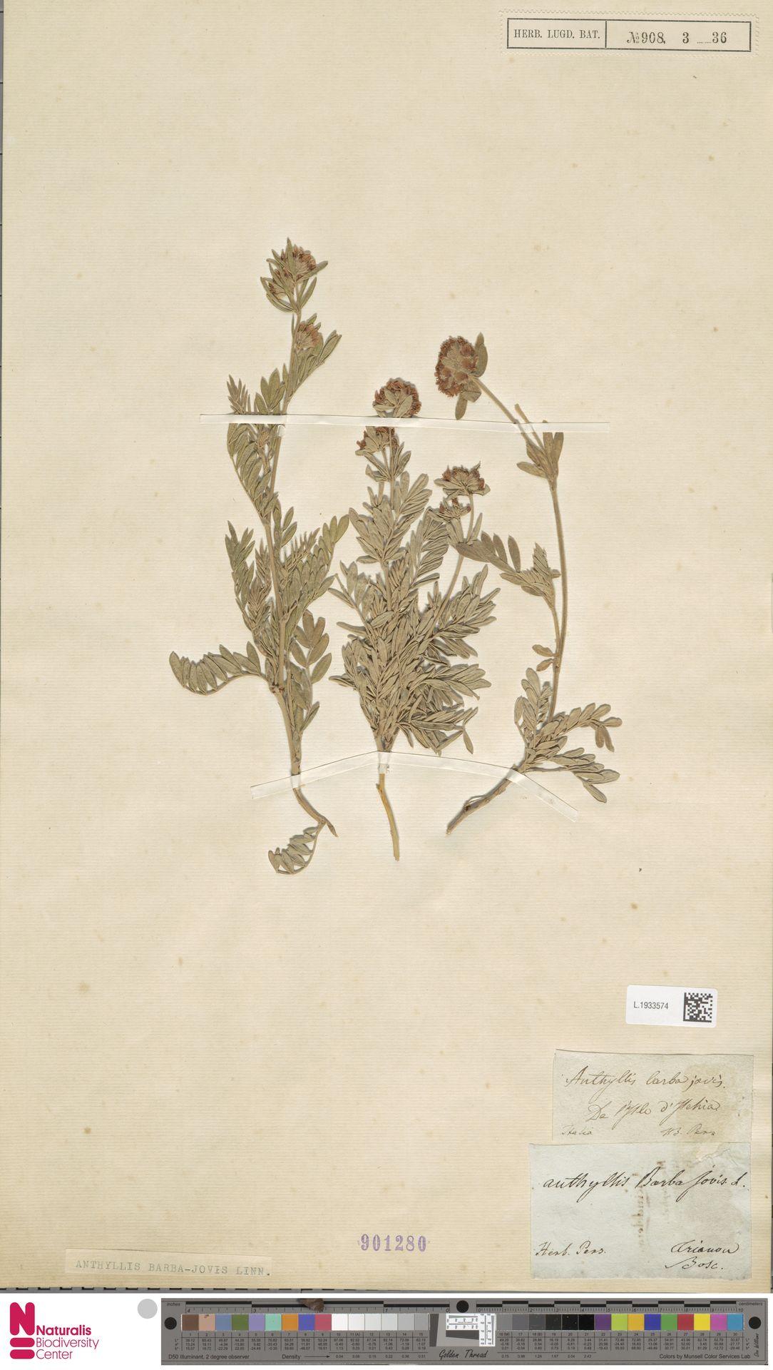 L.1933574   Anthyllis barba-jovis L.