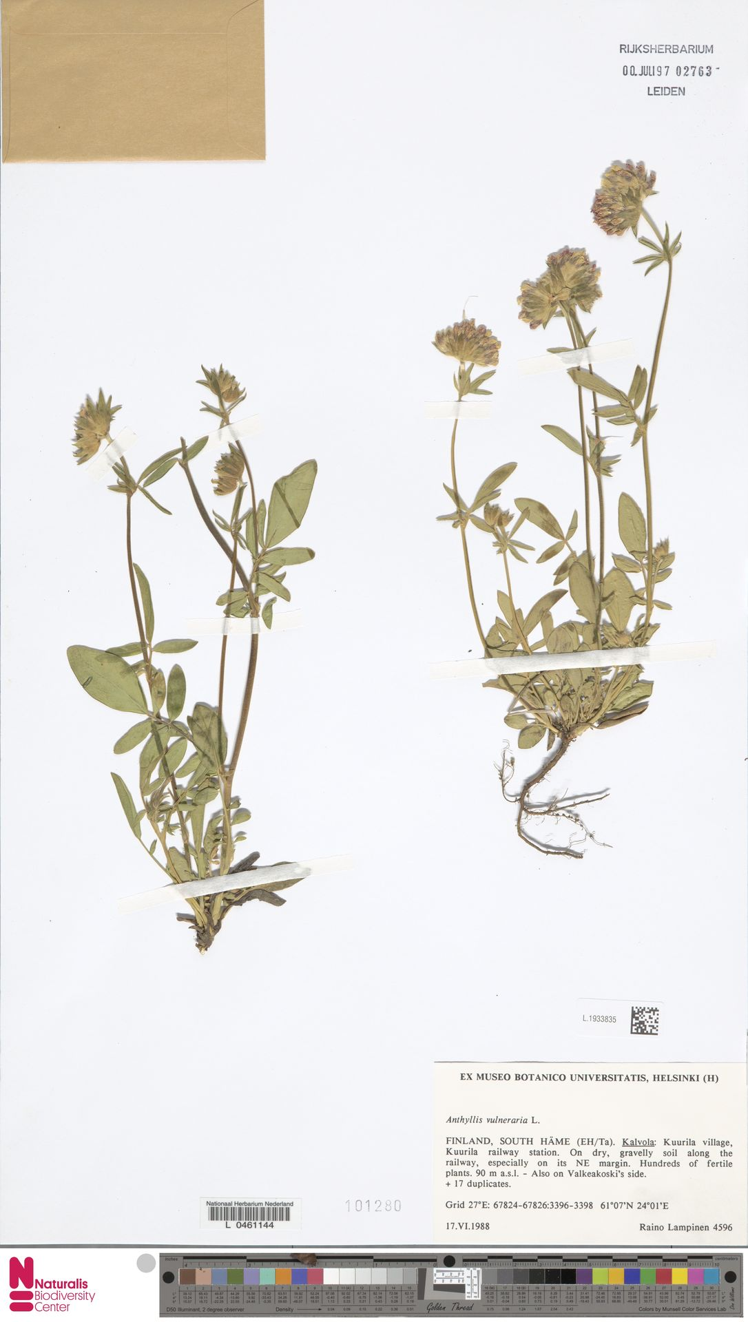 L.1933835   Anthyllis vulneraria L.
