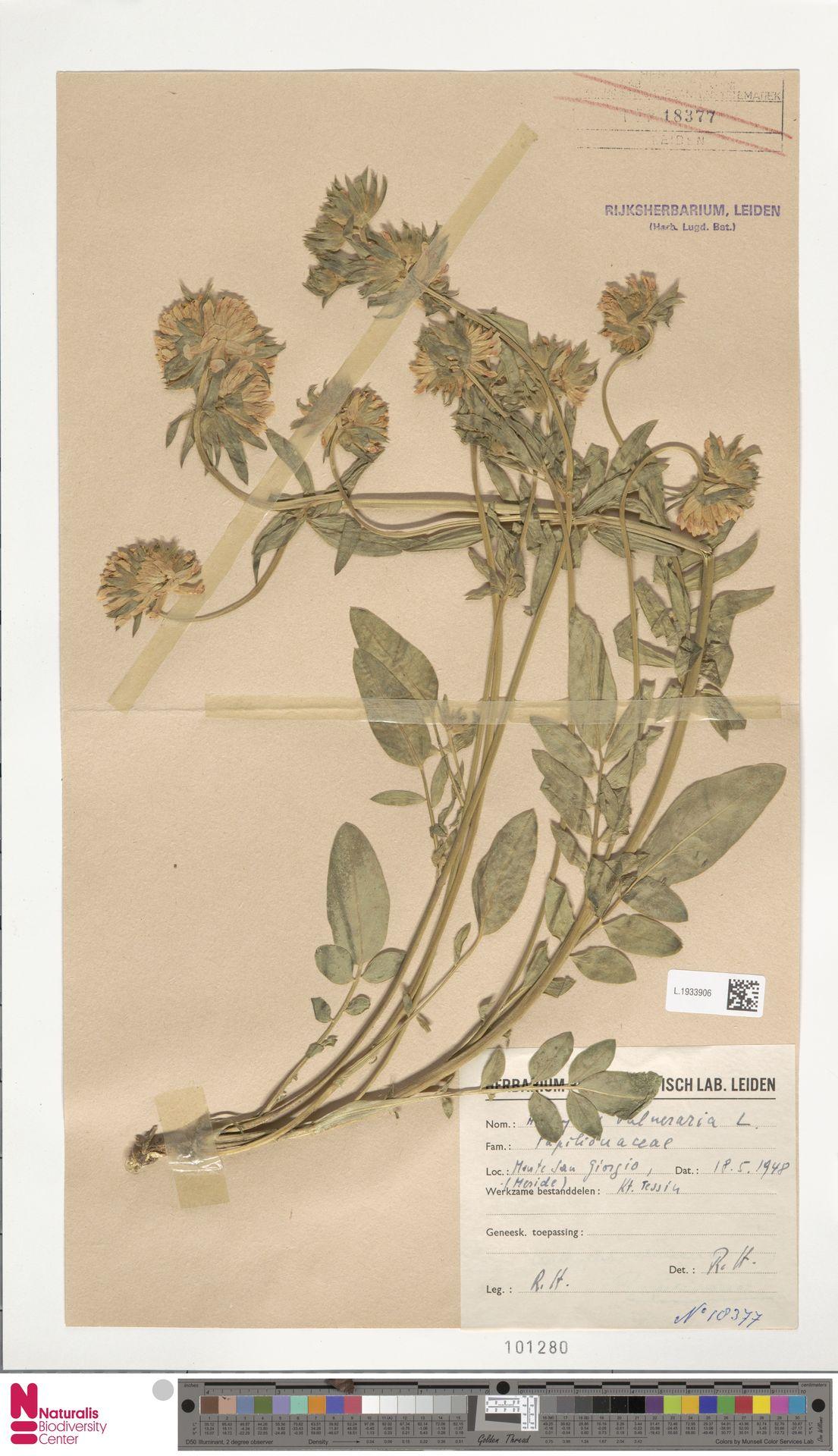 L.1933906   Anthyllis vulneraria L.