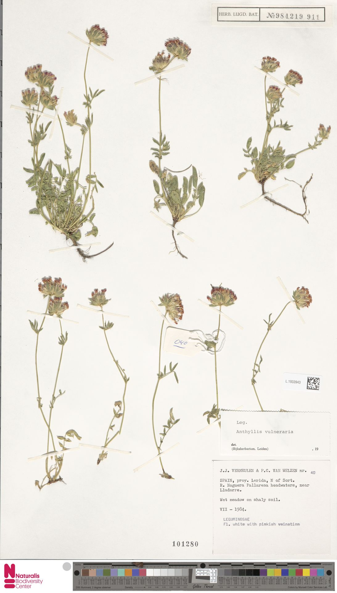 L.1933943 | Anthyllis vulneraria L.